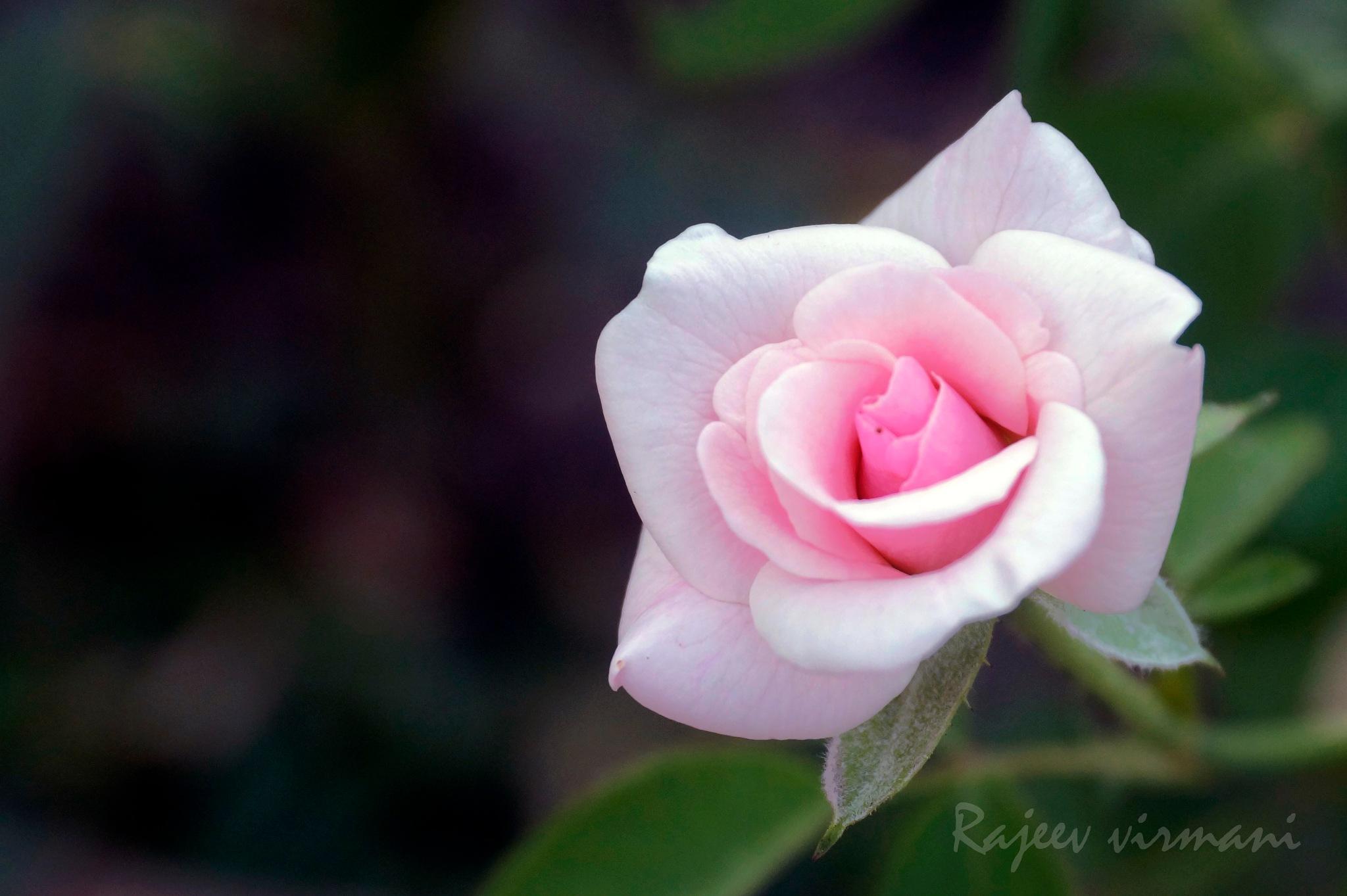 Rose by Rajeev