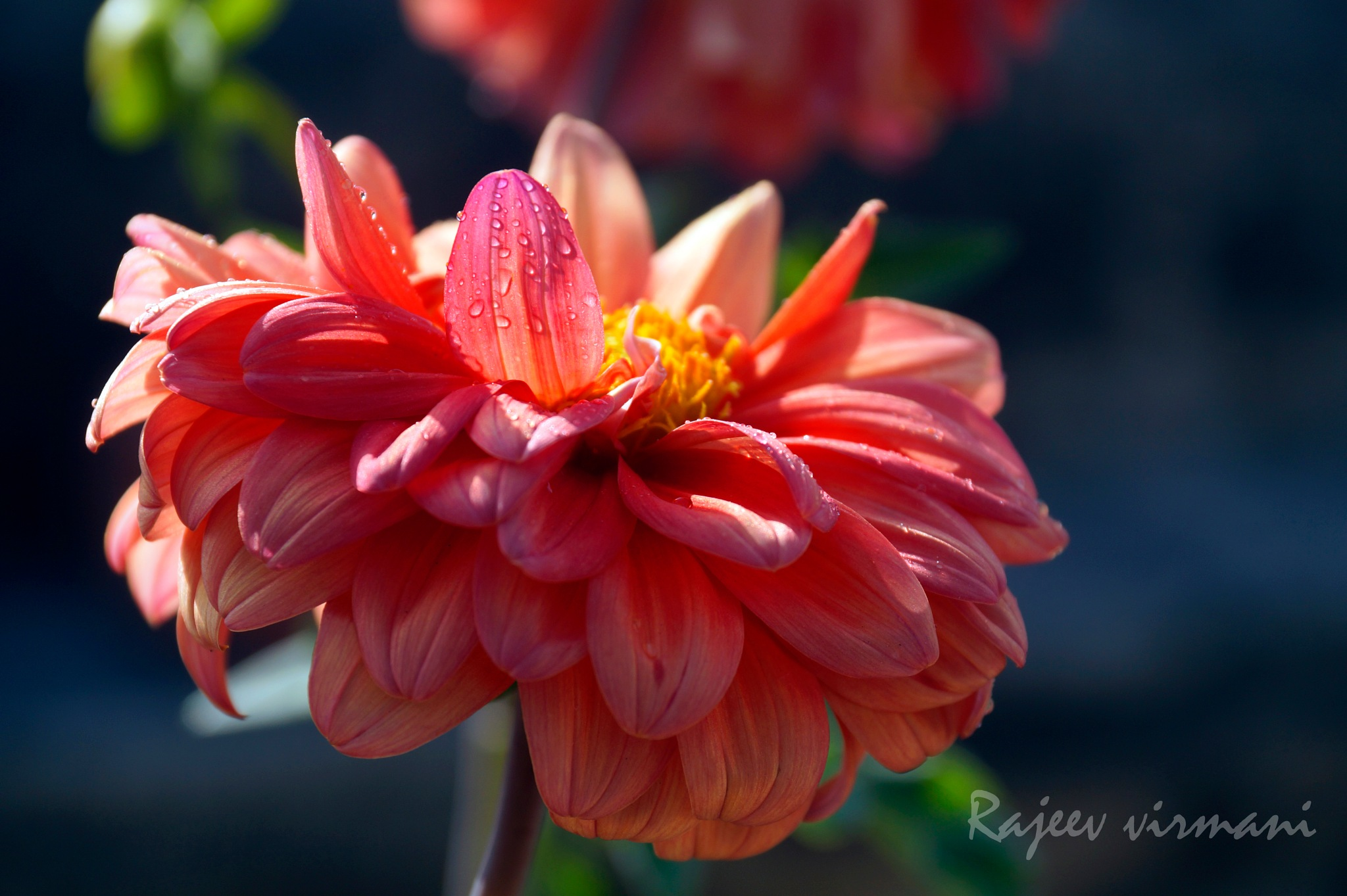 Dahlia by Rajeev