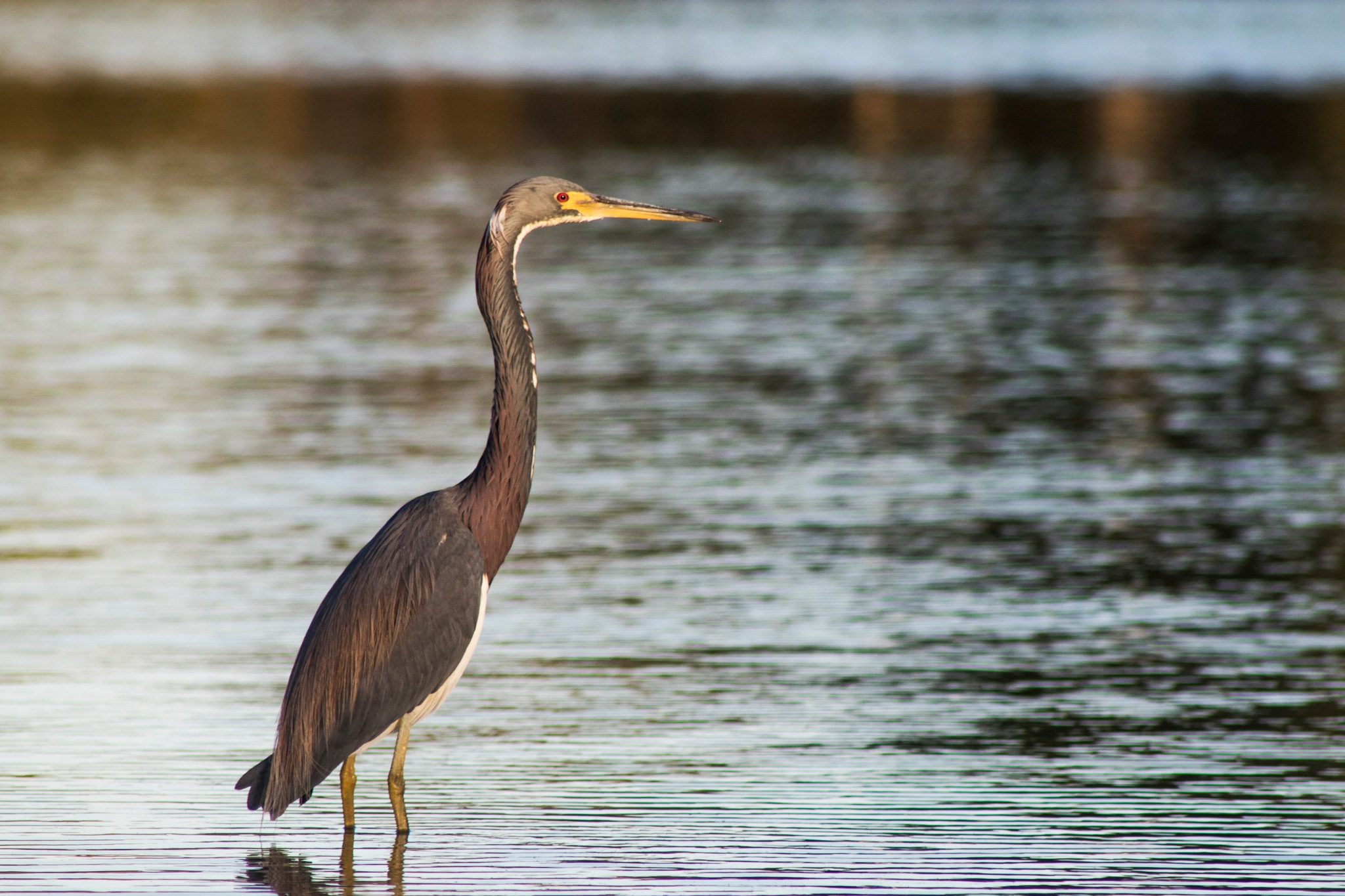 Great Blue Heron #2 by Nayan Mallick