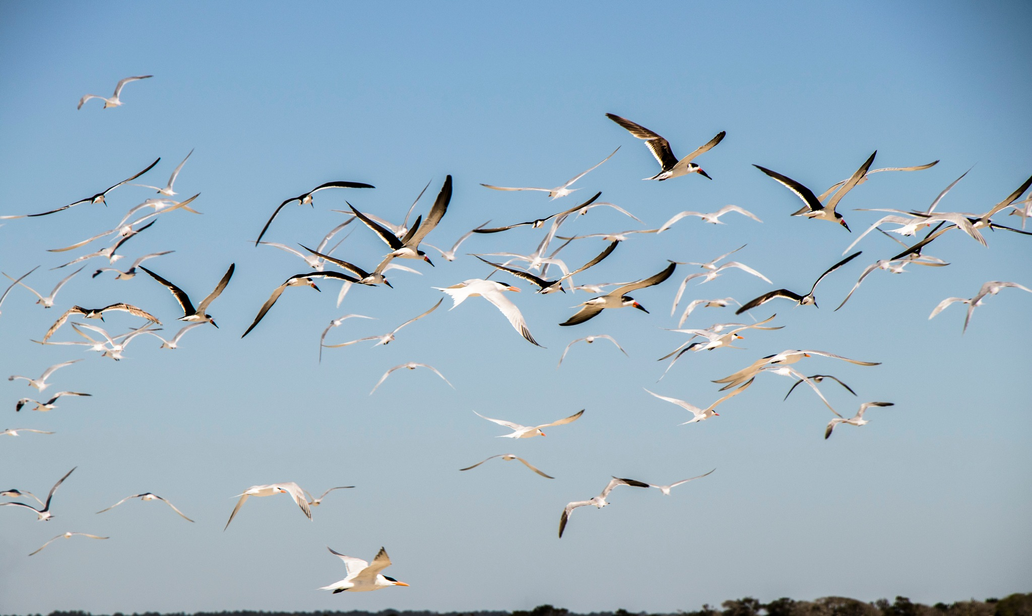Terns and Skimmers by Nayan Mallick