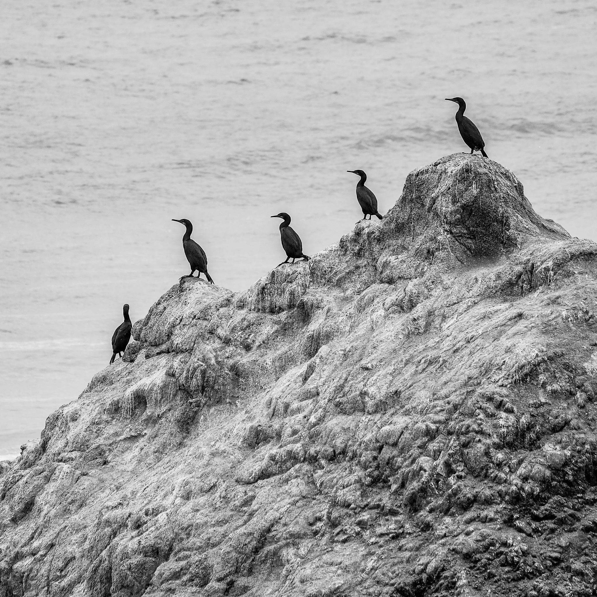 Cormorants at Bodega Head by M. Shamma