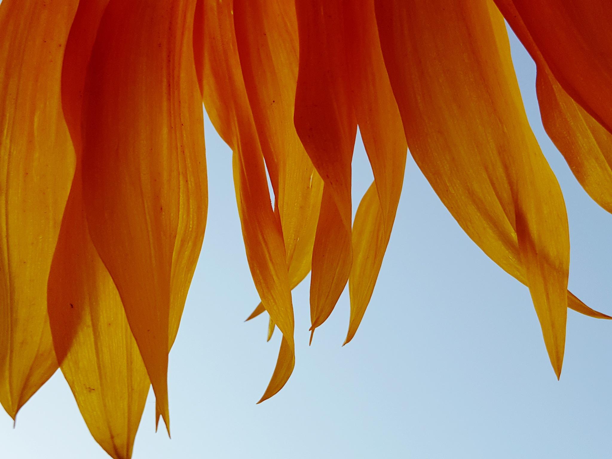 'sunflower*' by John Jack Dubajka