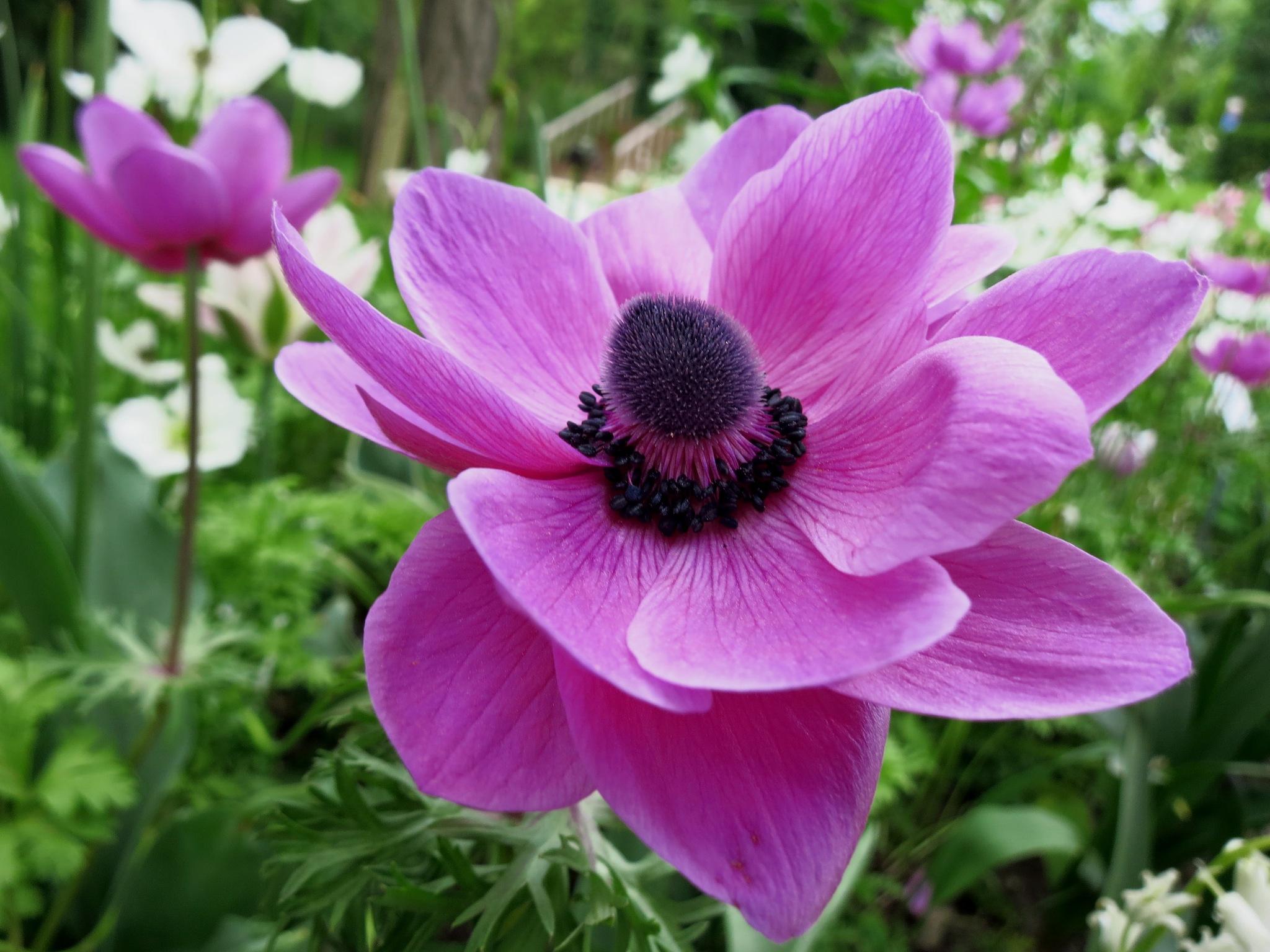 anemone. by Zeldaya