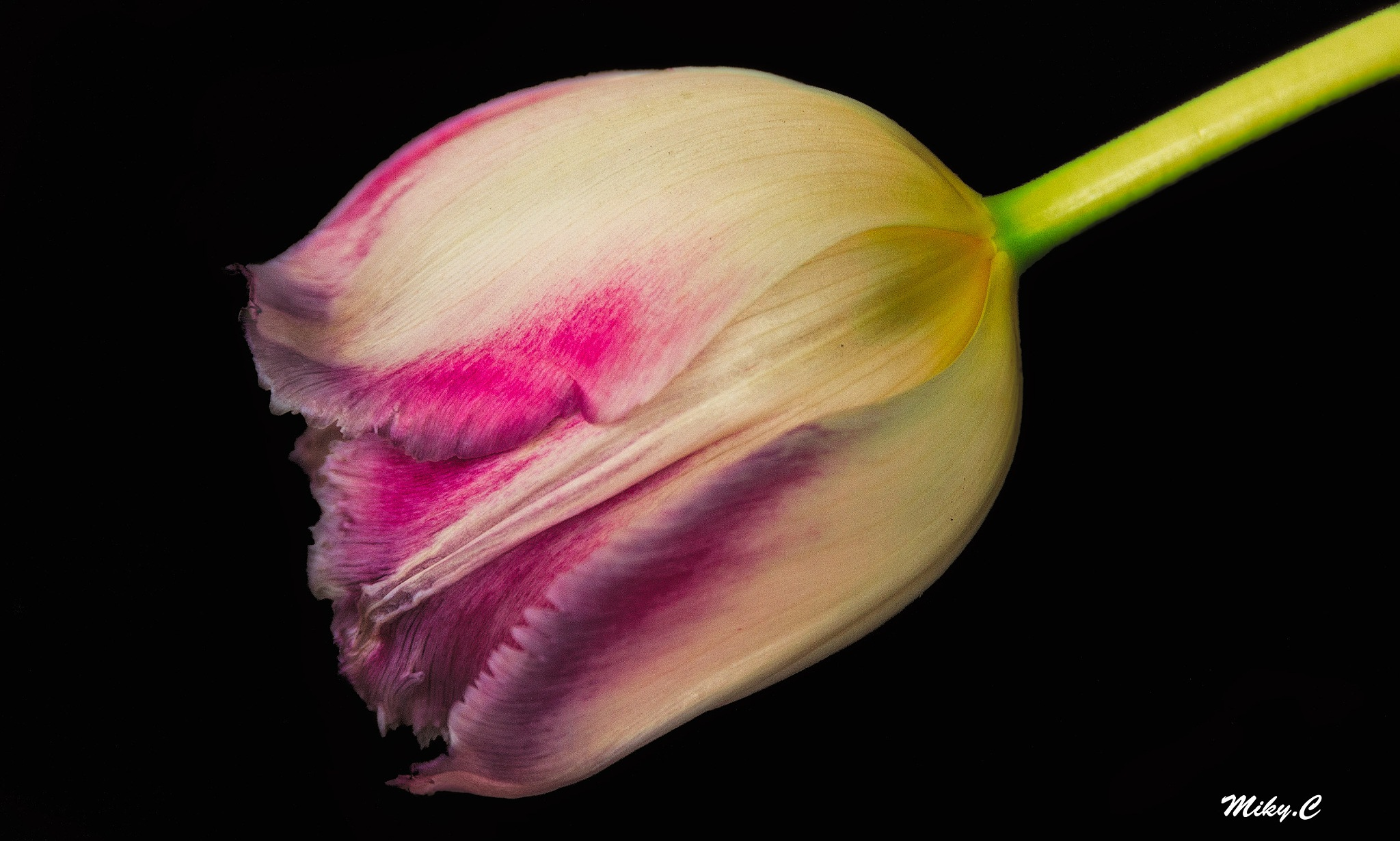 tulip by Michela Cerbone