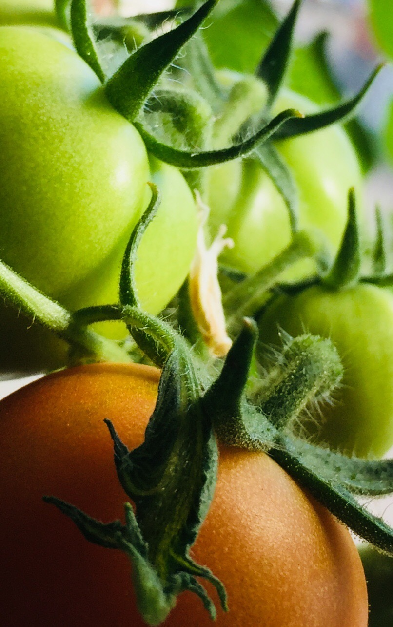 Red and green tomatoes growing in my kitchen by Sarah Grundel
