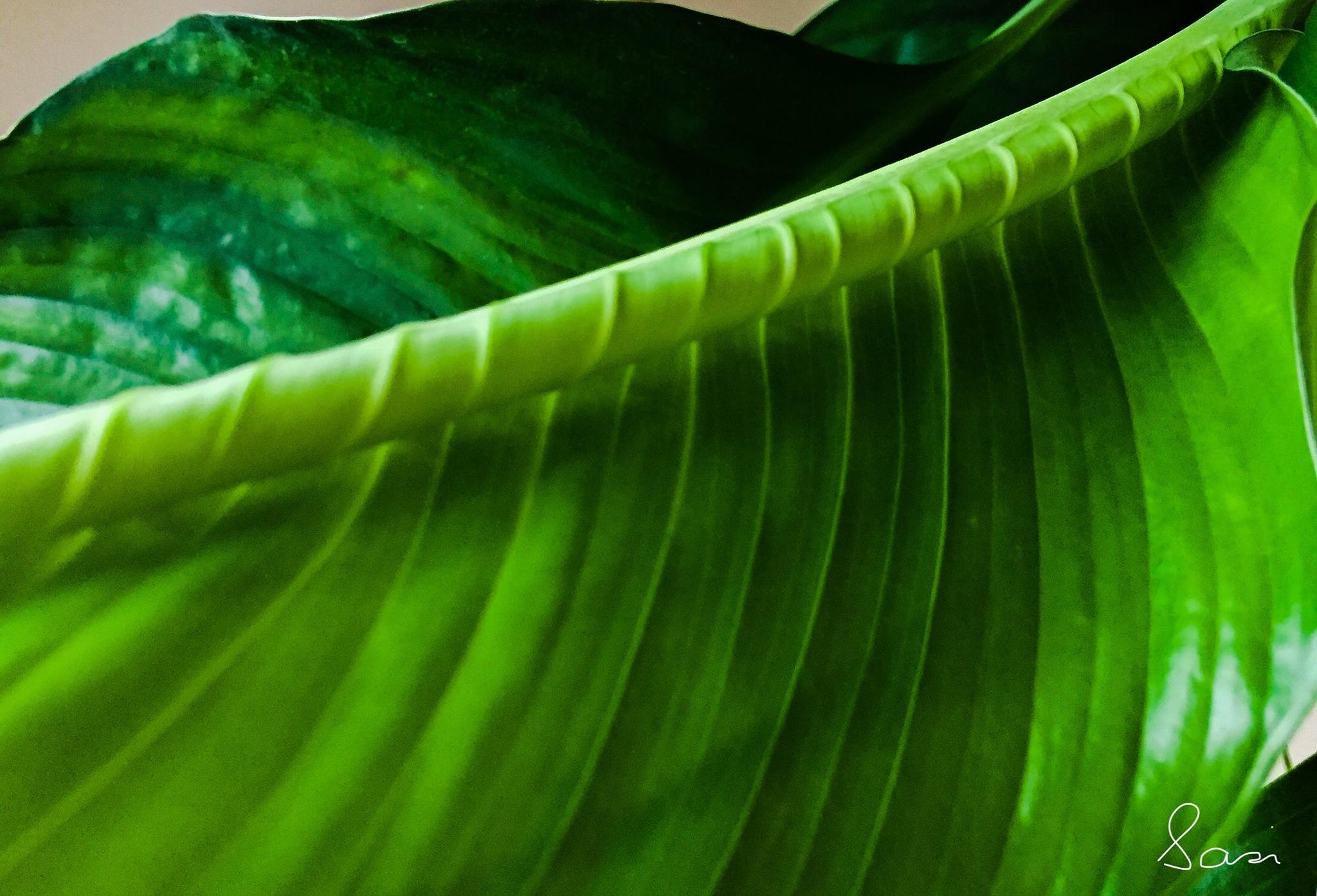 A leaf unfurling✨ by Sarah Grundel