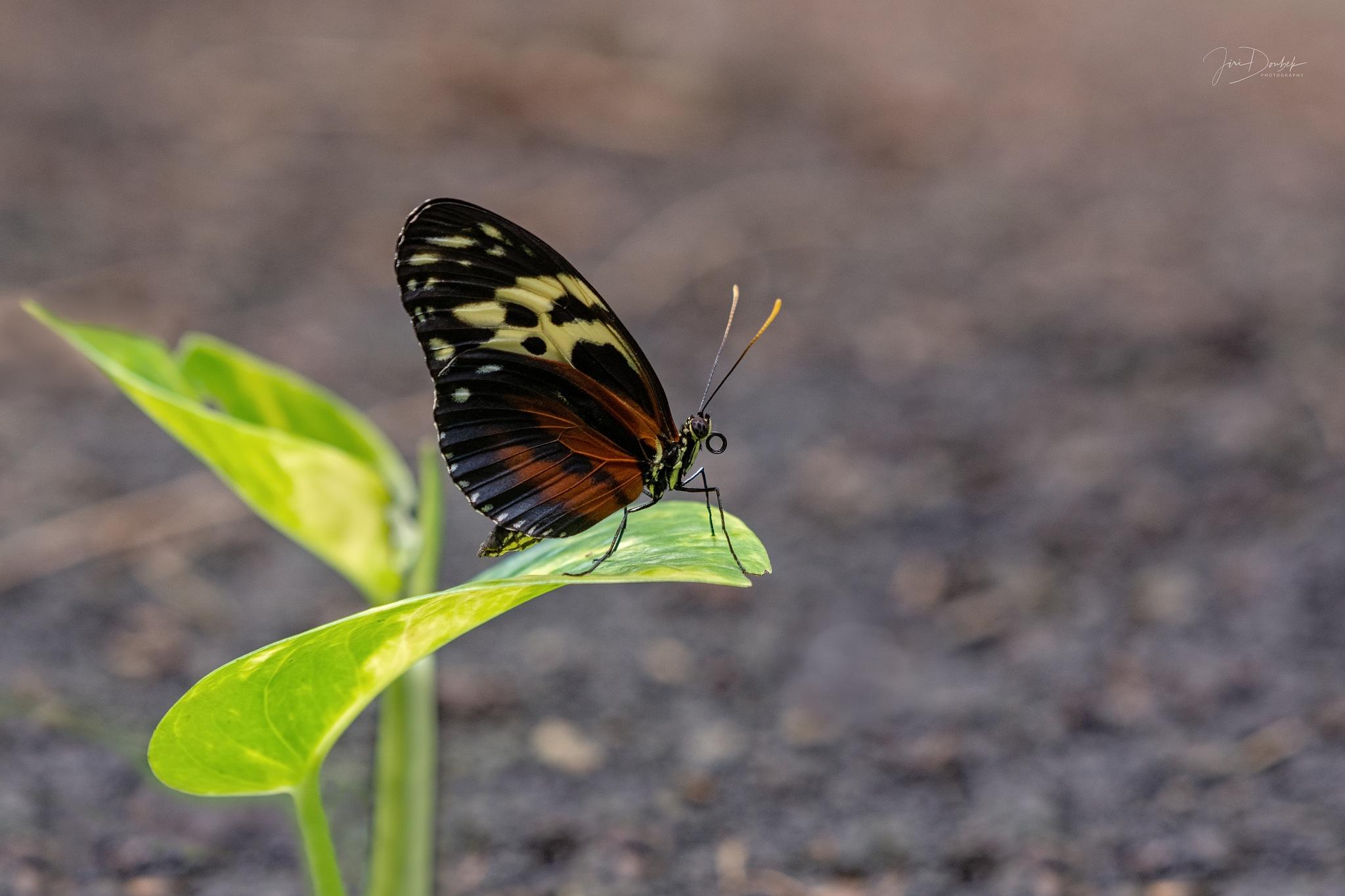 Butterfly by Jiri Doubek