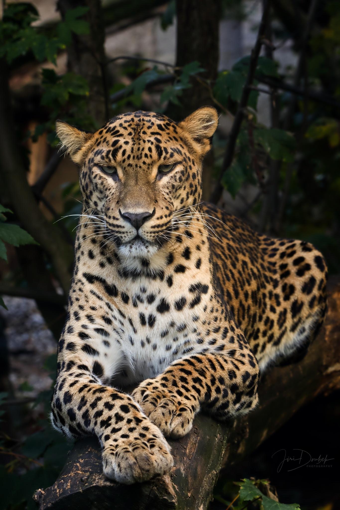 Sri Lankan leopard by Jiri Doubek