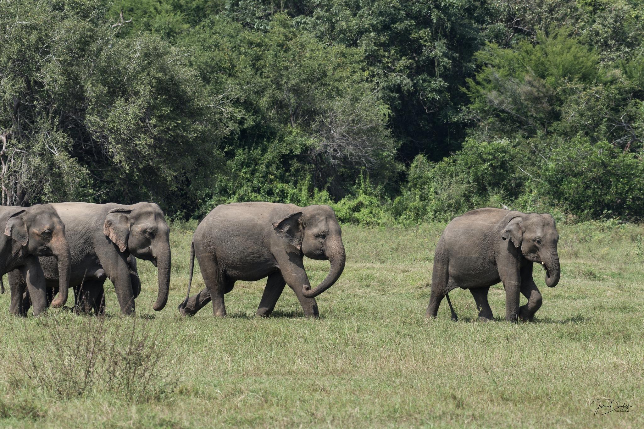Elephants by Jiri Doubek