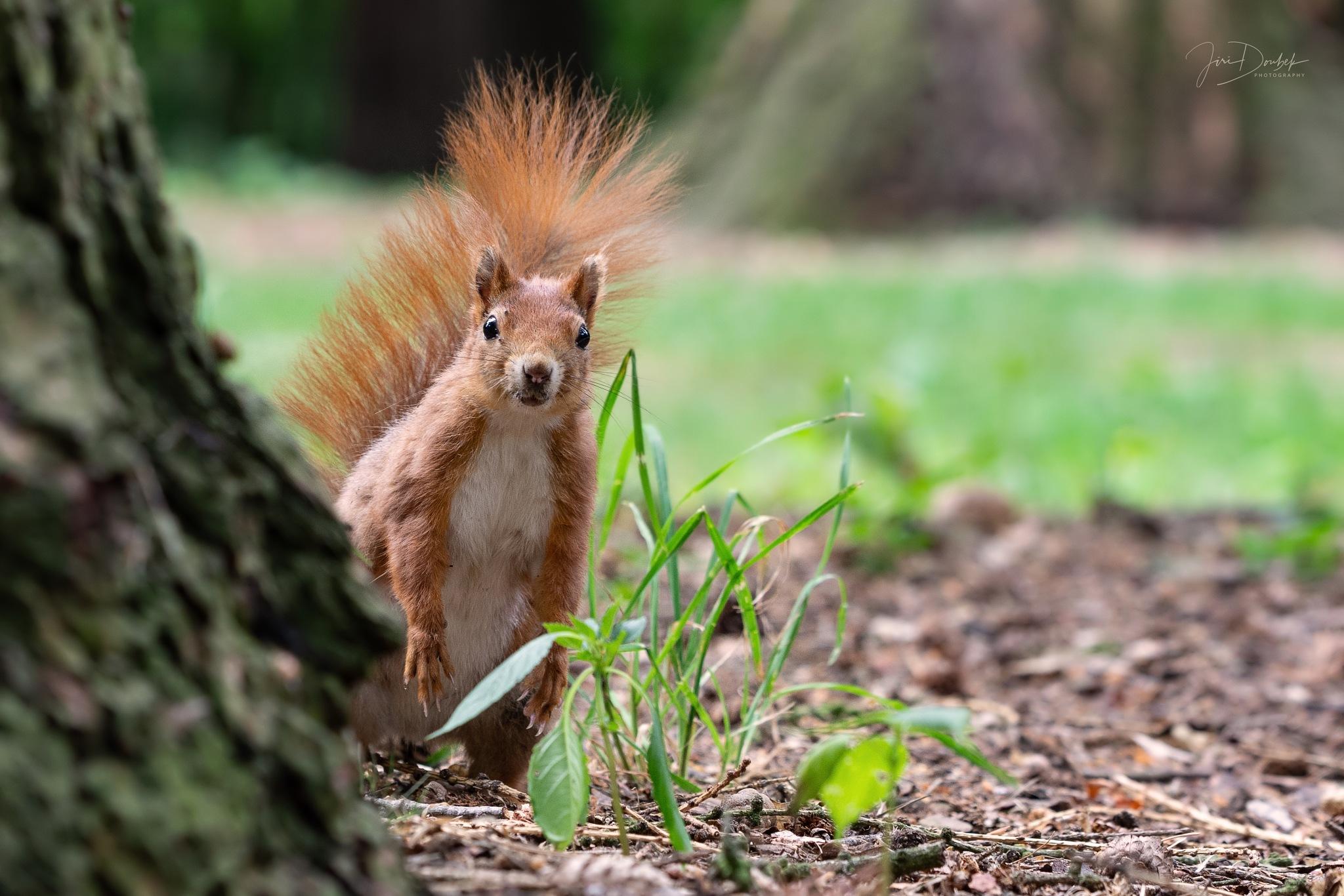 Red Squirrel by Jiri Doubek
