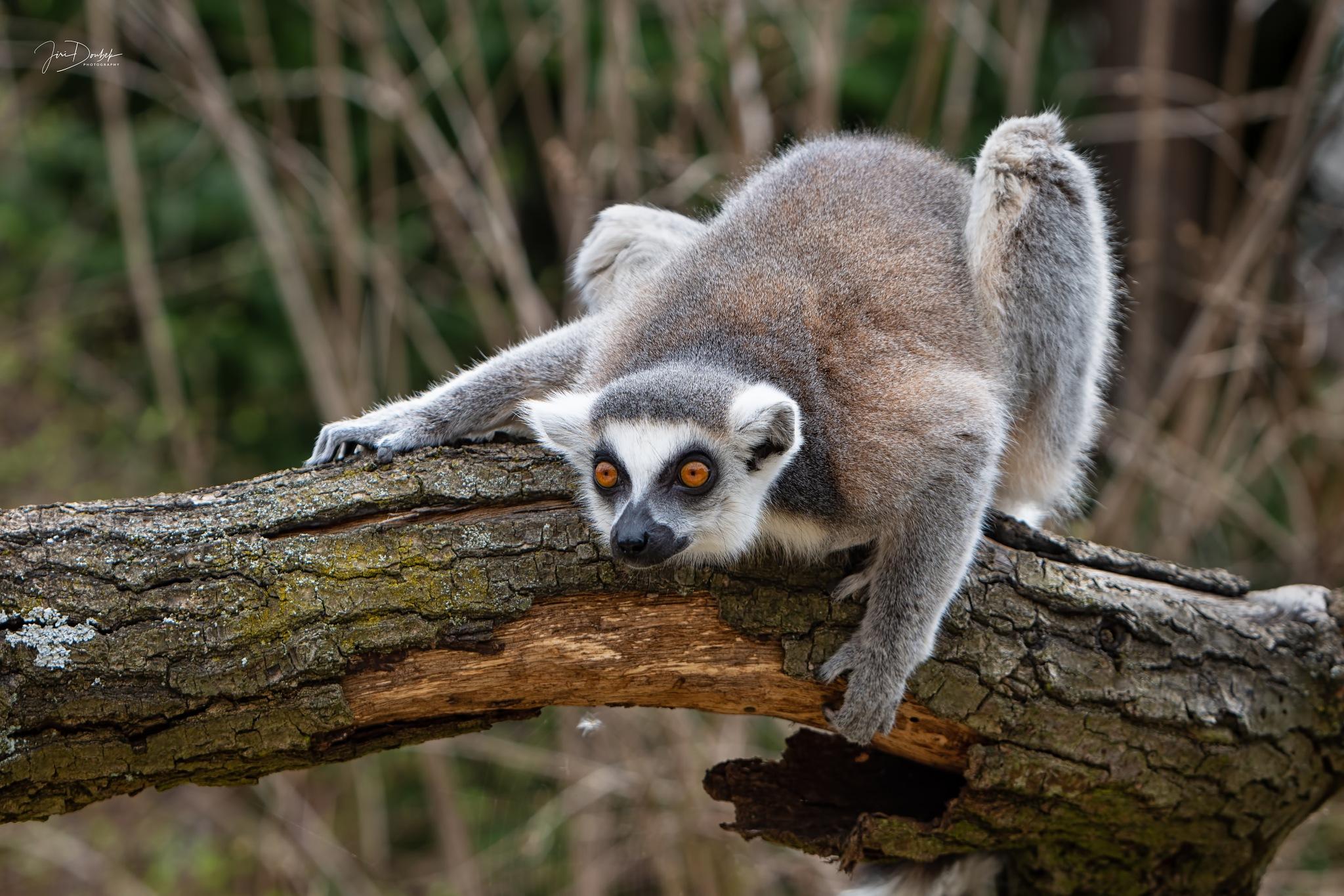 Lemur Kata by Jiri Doubek