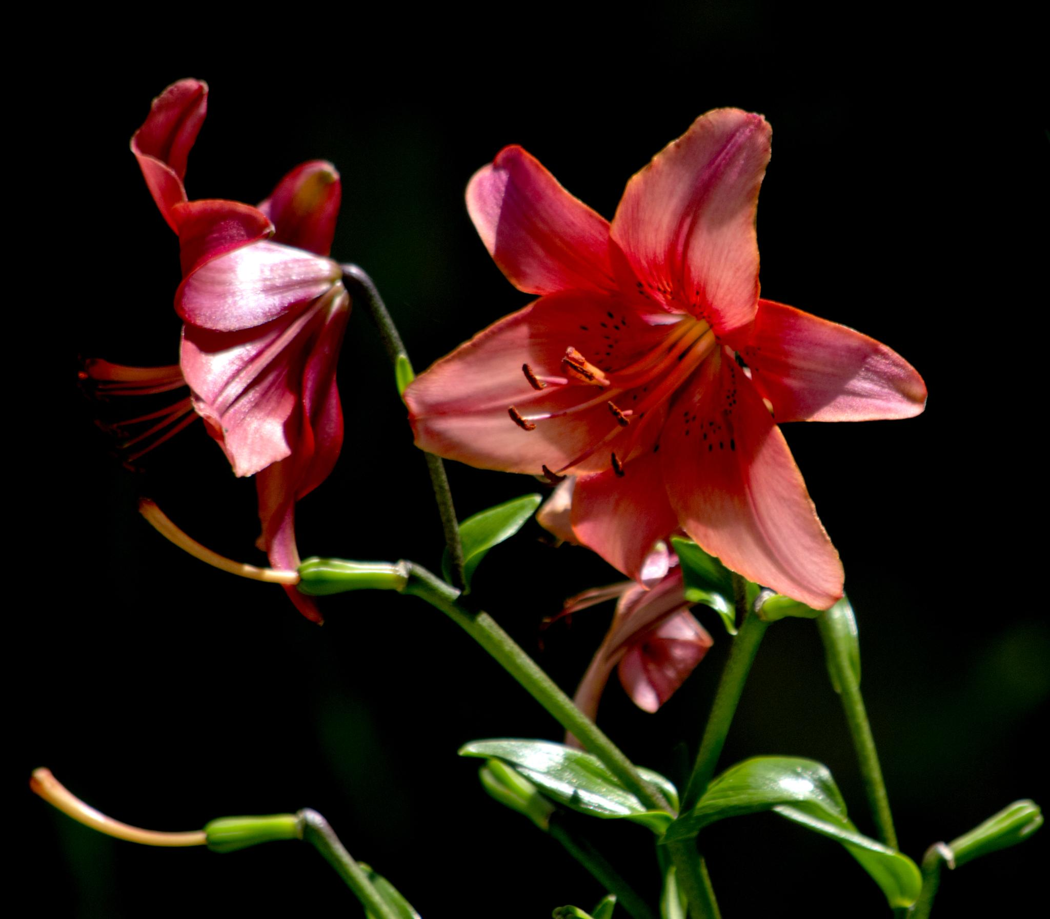 Lilium (cream) by Areka Bulgaria