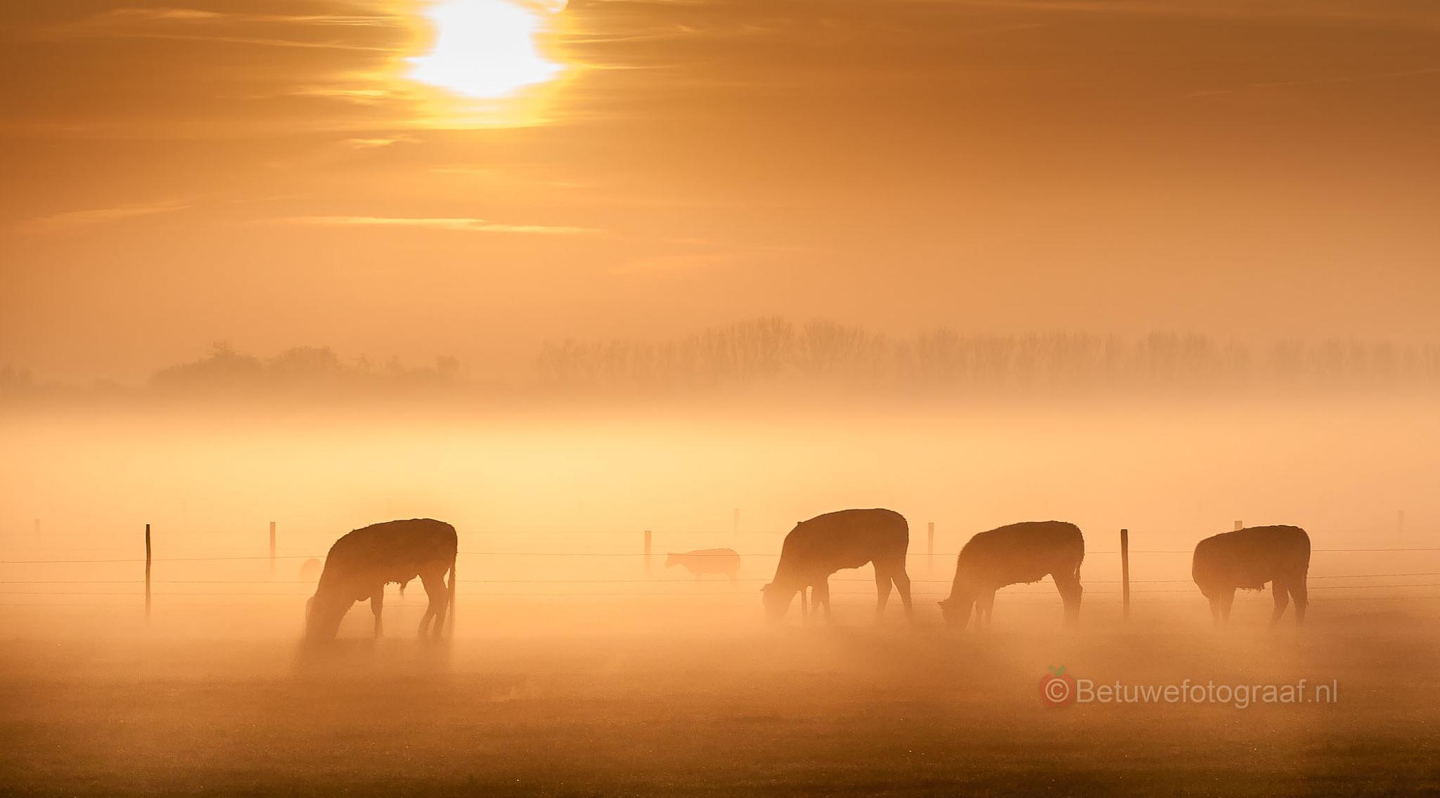 Cows in the morning mist by Betuwefotograaf