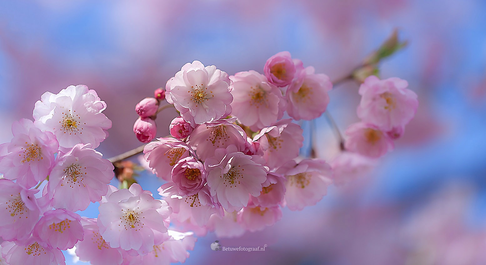 Japanese Cherry Blossom by Betuwefotograaf