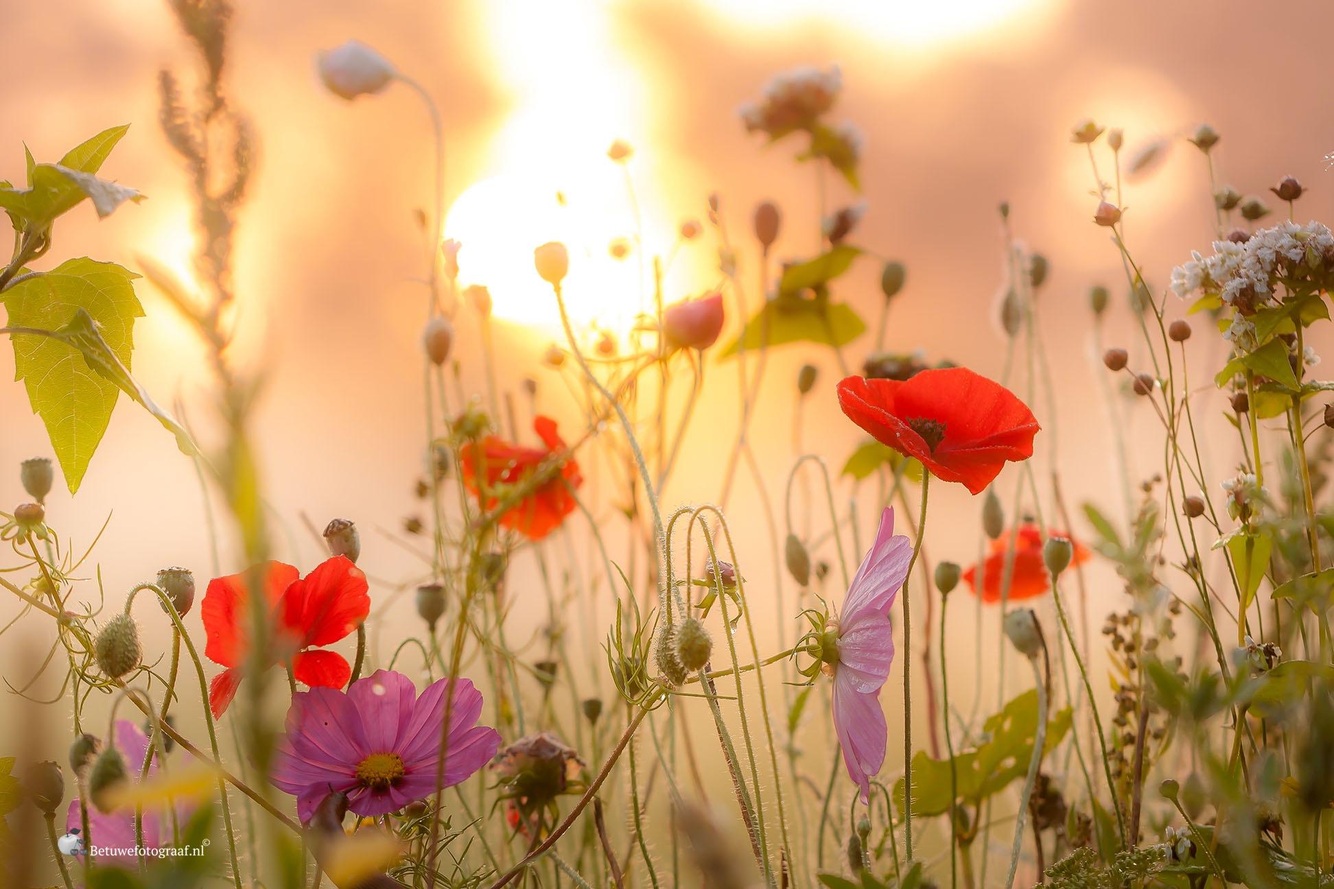 Flowers in the morning....Sunrise...... by Betuwefotograaf