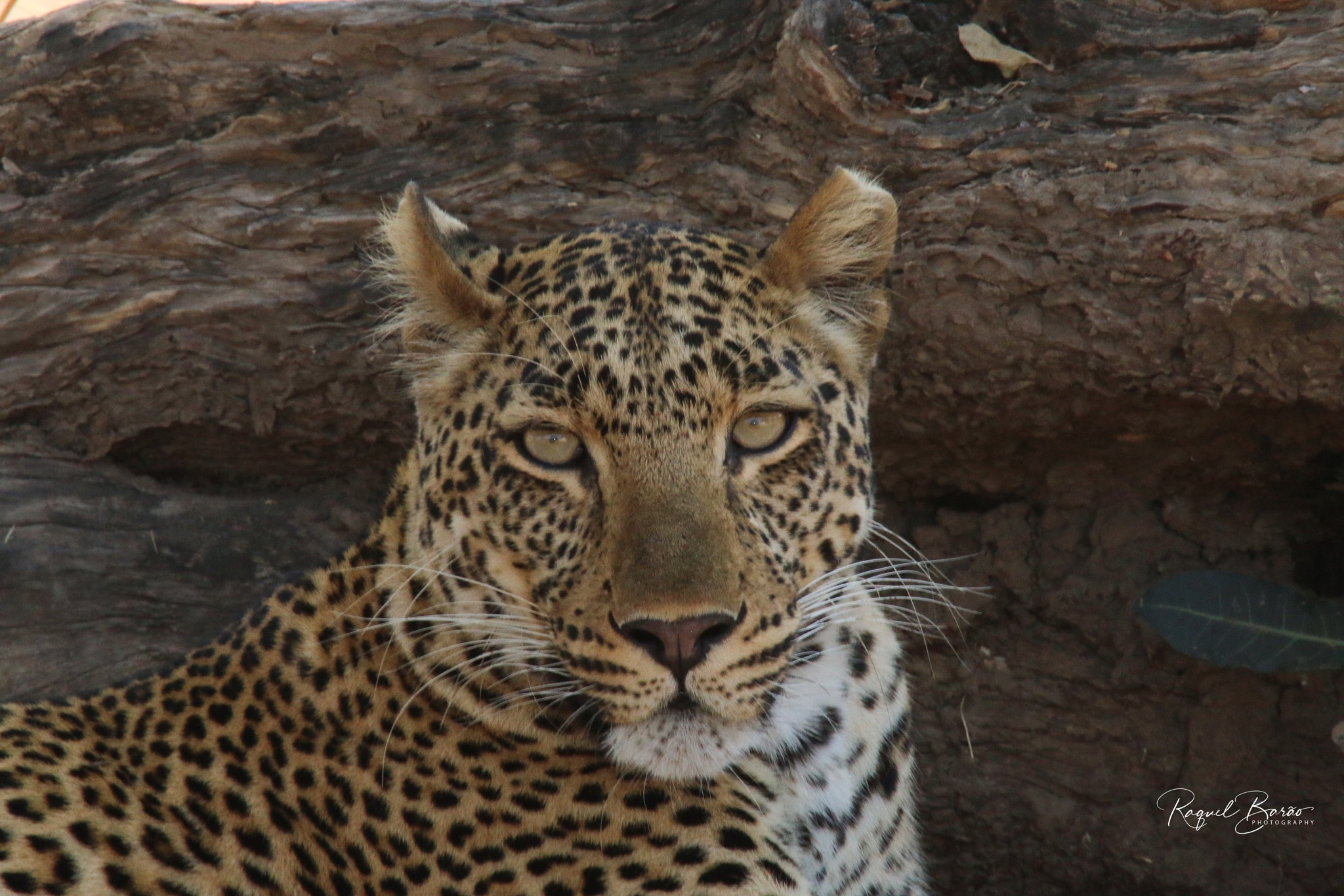 Leopard Staring at .... by DreamPhotosByMe Wild&Free