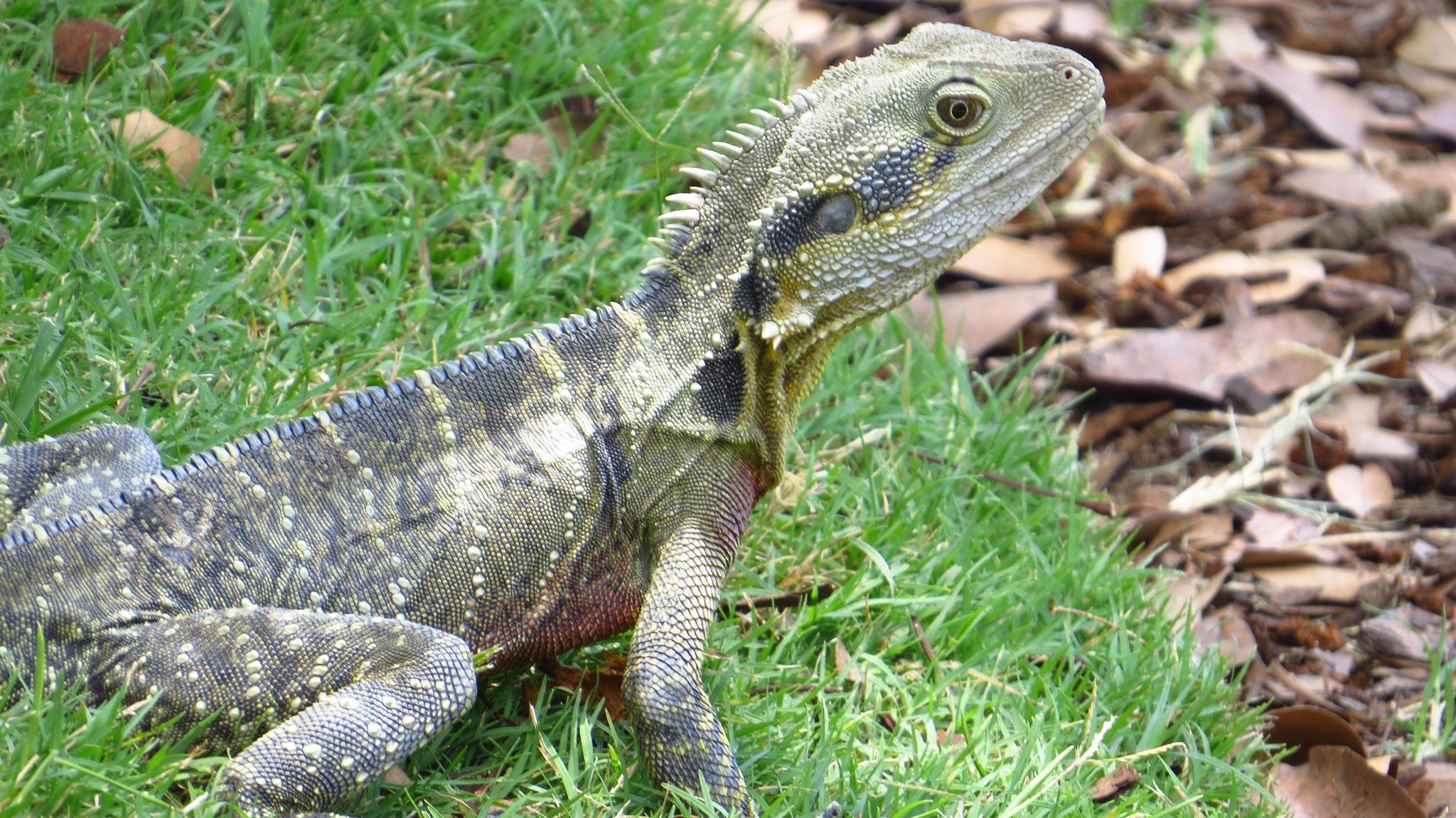 Big Lizard by Craig Wish