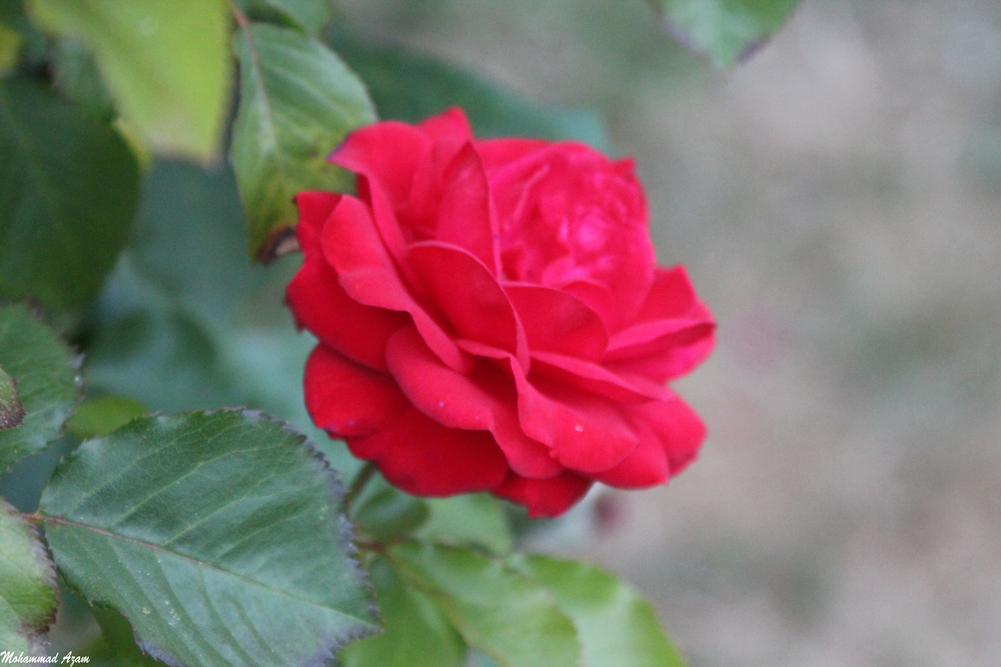 Red Rose 400 by Mohammad Azam