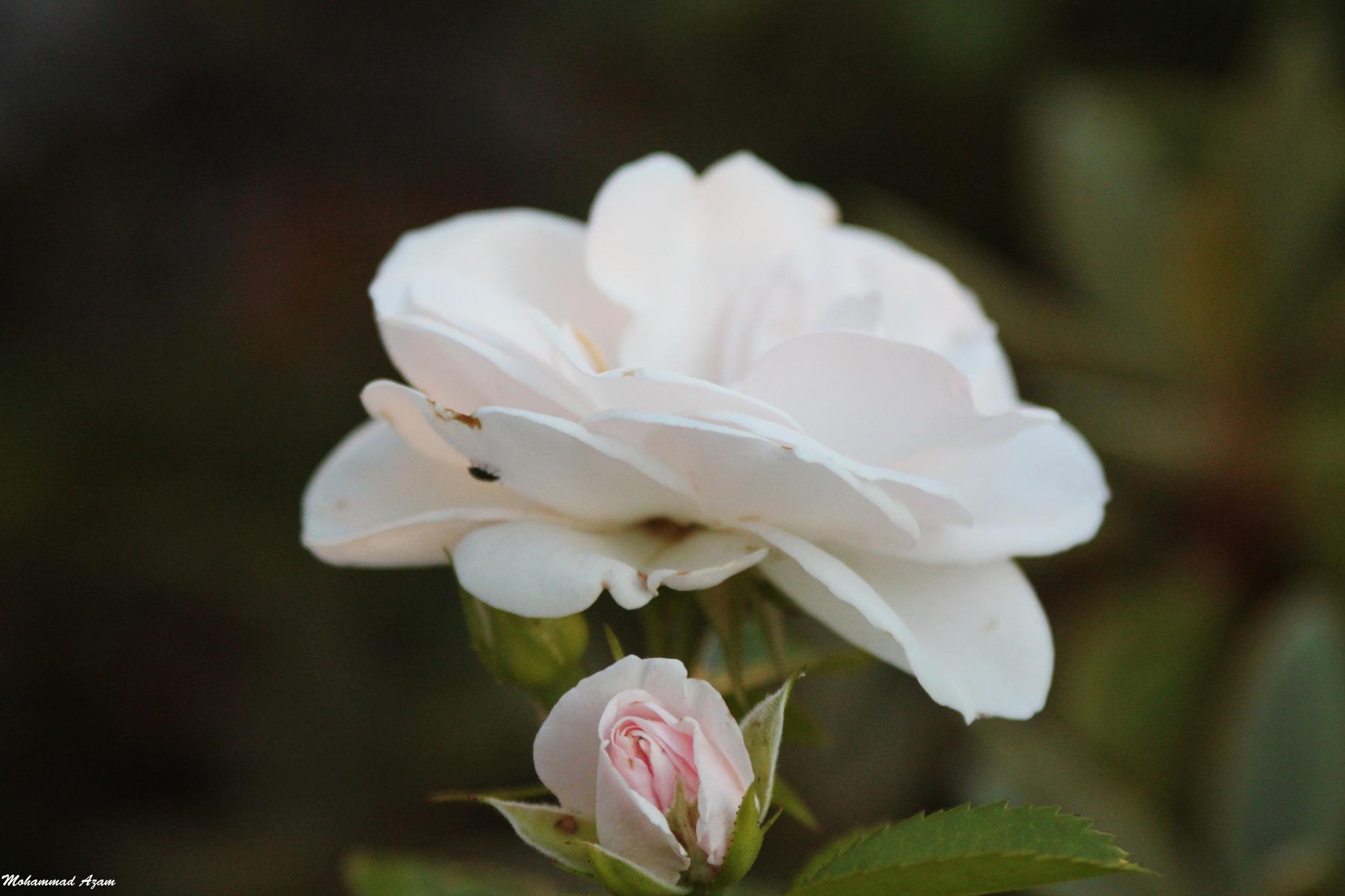 Flower 7 by Mohammad Azam