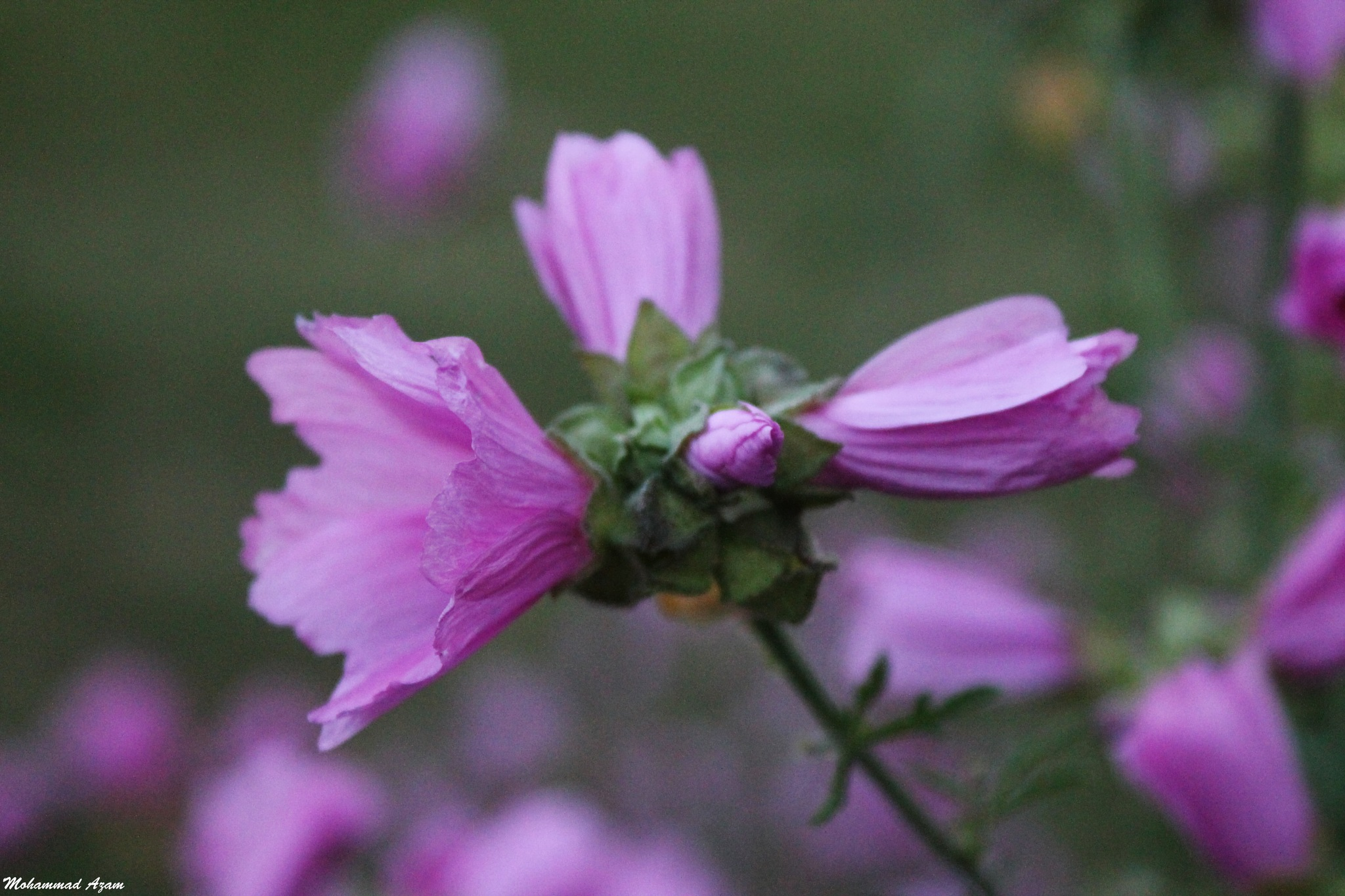 Flower 39 by Mohammad Azam