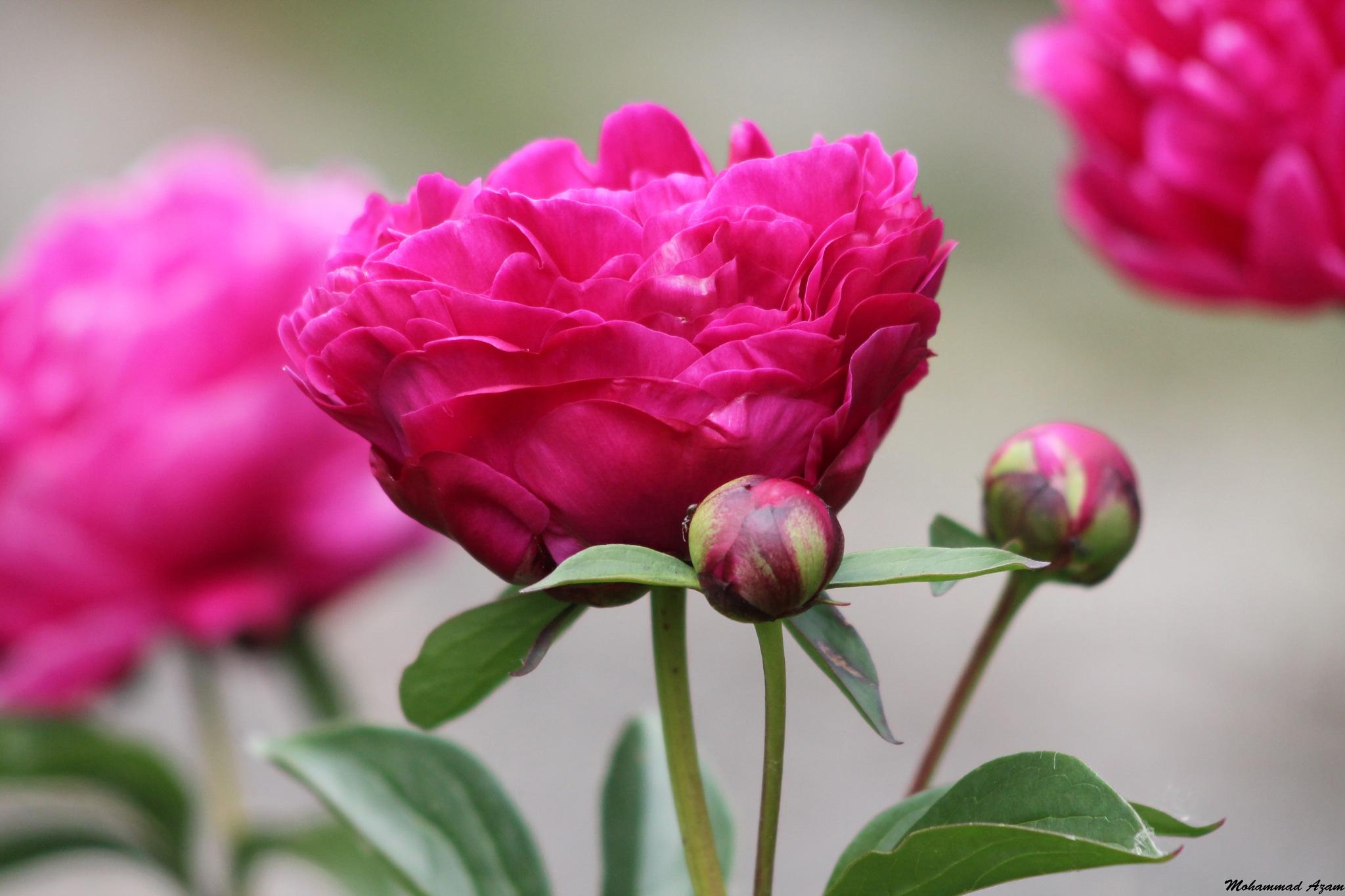 Flower 257 by Mohammad Azam