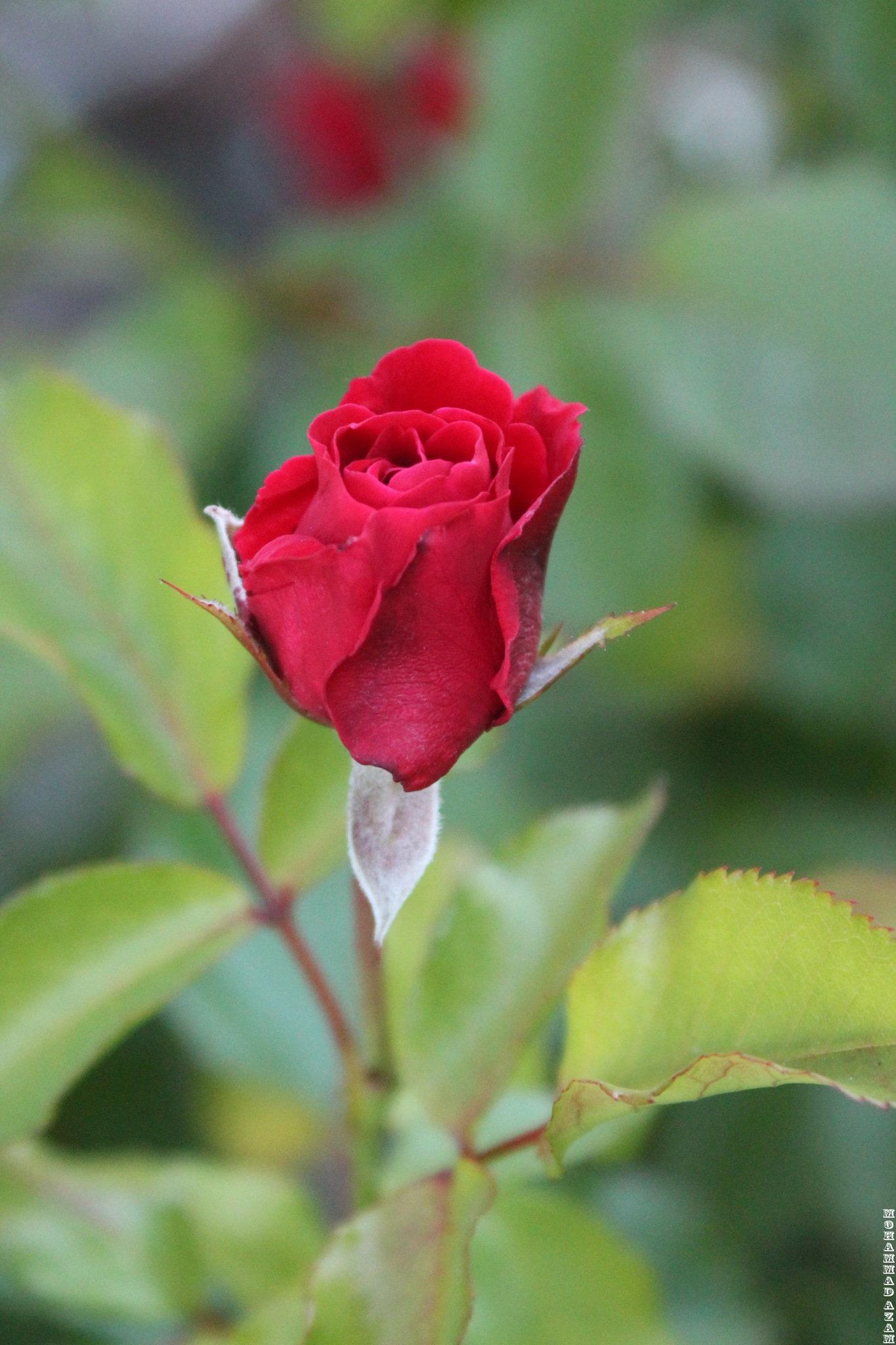 Red Rose 401 by Mohammad Azam
