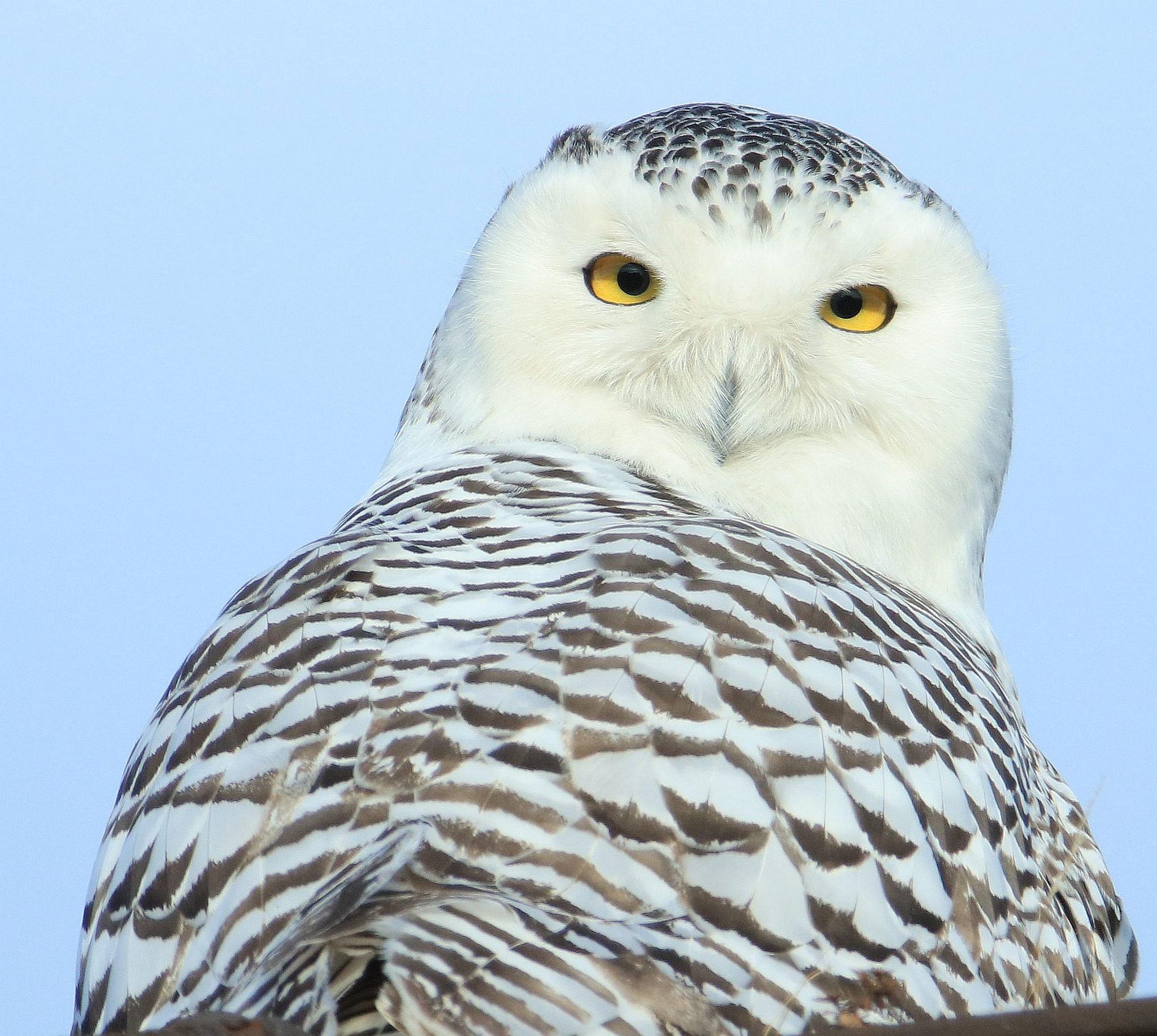 Snowy Owl by N E Yedidağ
