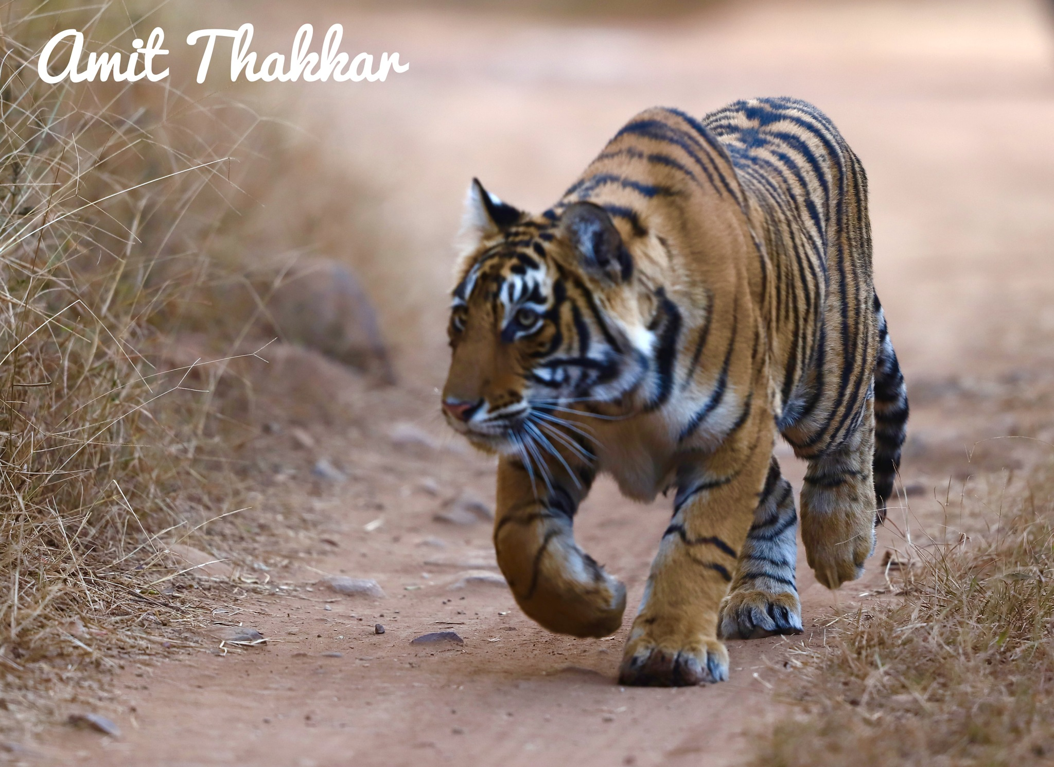 Stalking Tiger  by Dr Amit  Thakkar