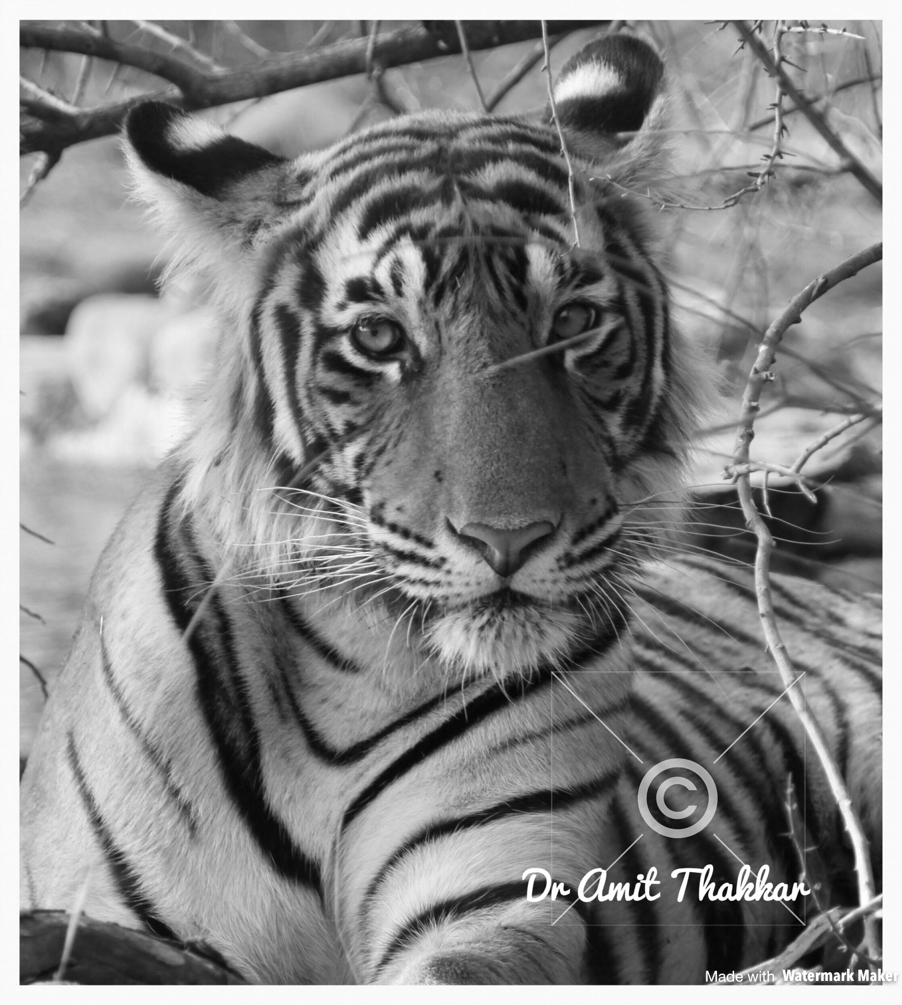 Tiger monochrome  by Dr Amit  Thakkar