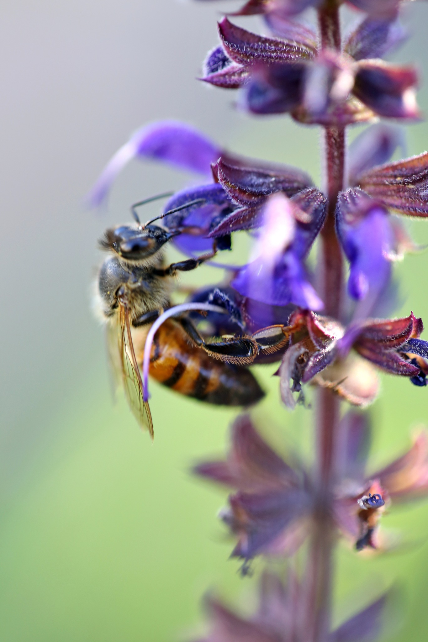 Bee and Salvia by Charlene Phillips