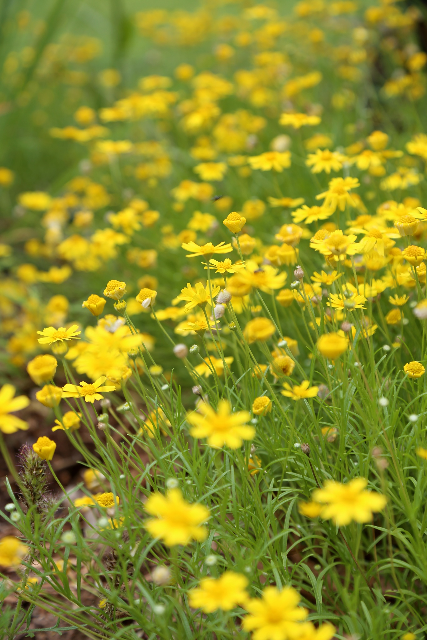 Field of Yellow by Charlene Phillips