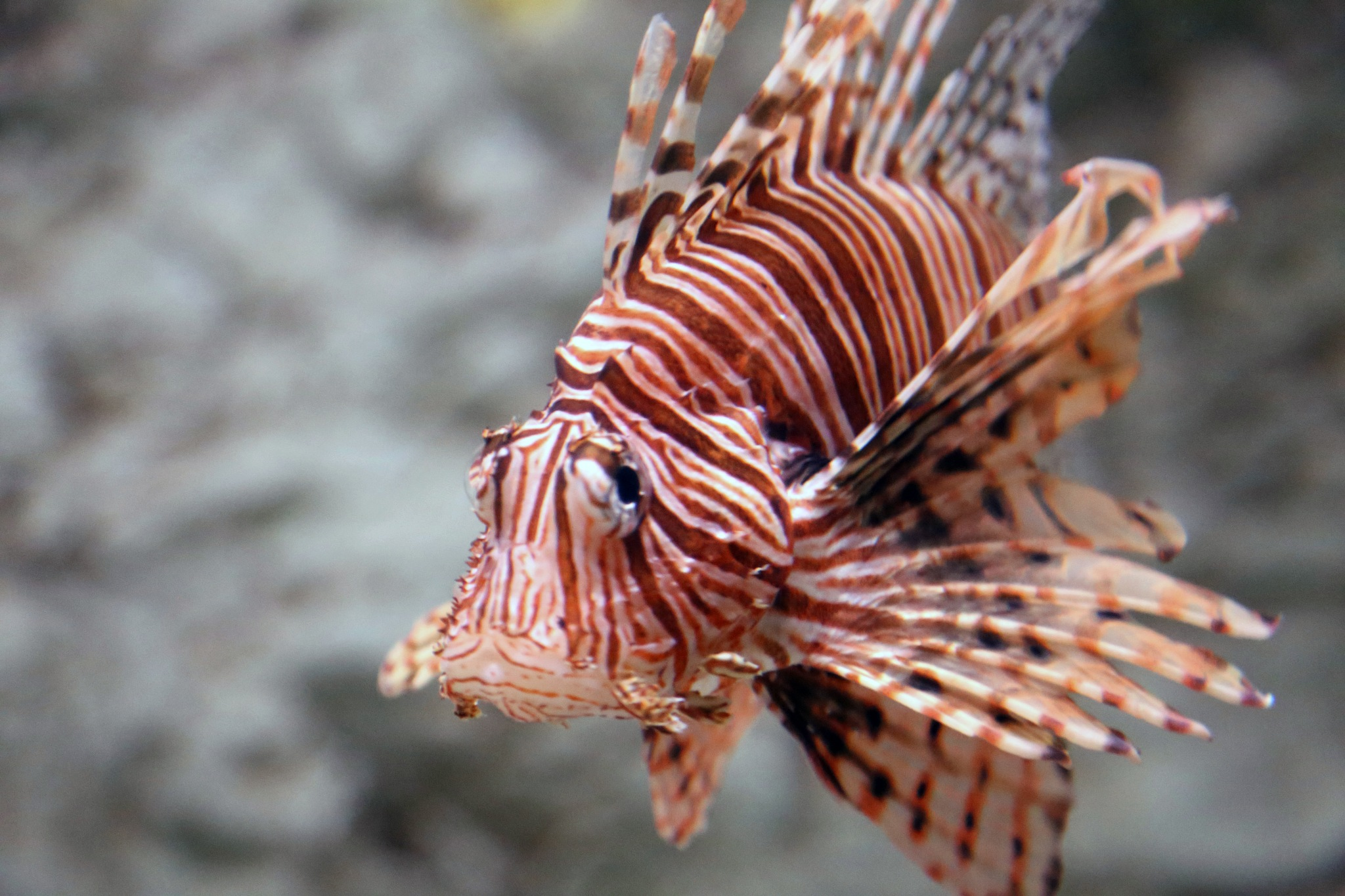 Lionfish by Charlene Phillips