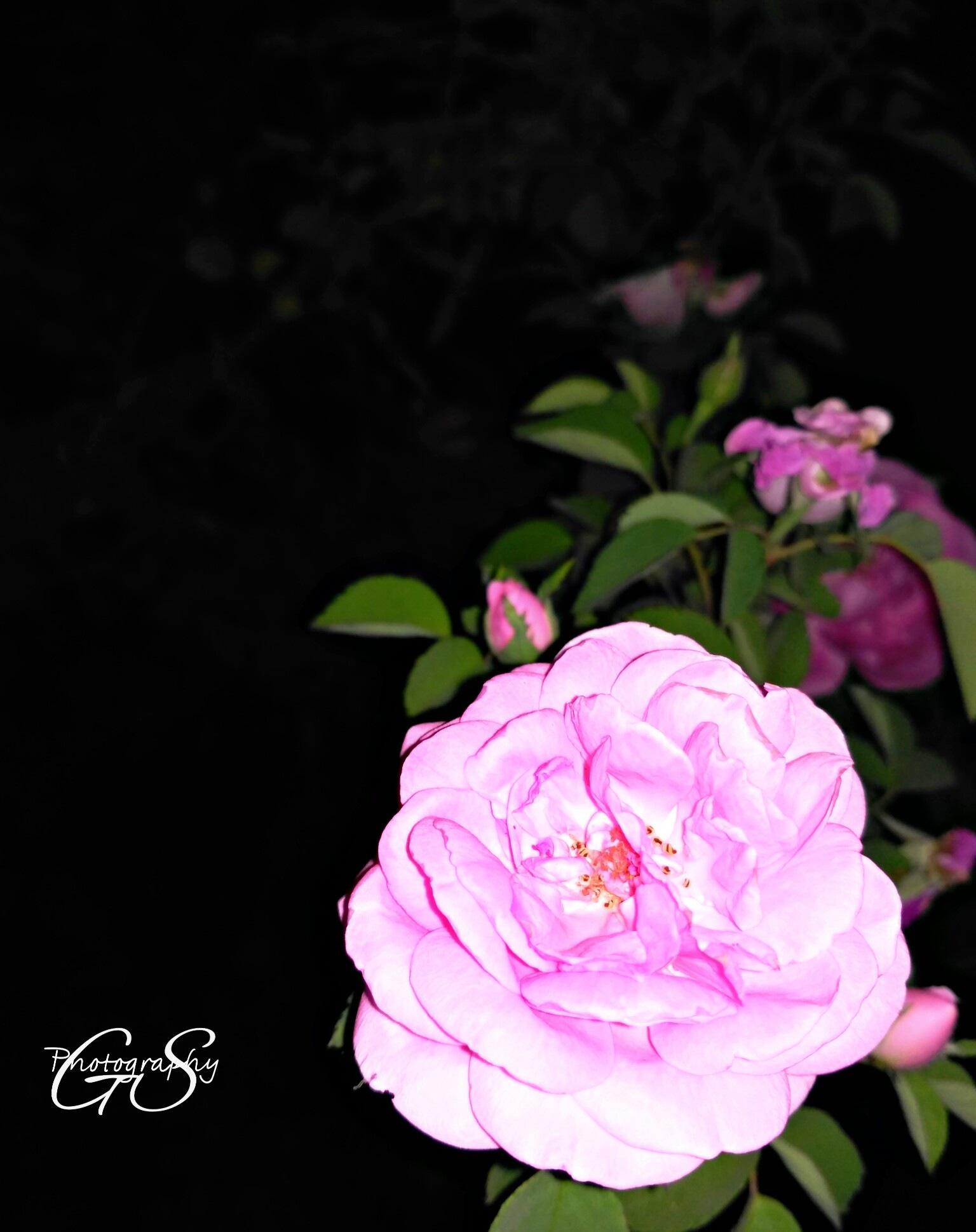 Rose  by Gursharndeep Singh