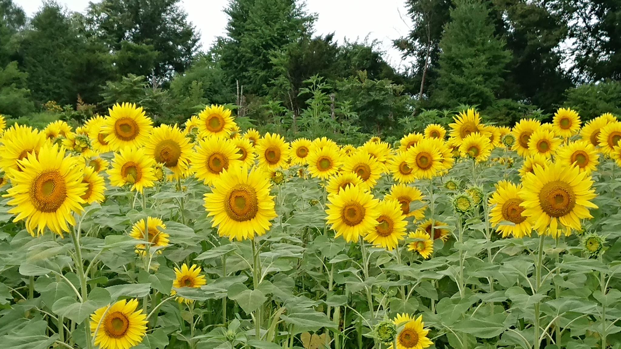 Sunflower by Ellie Matsunami