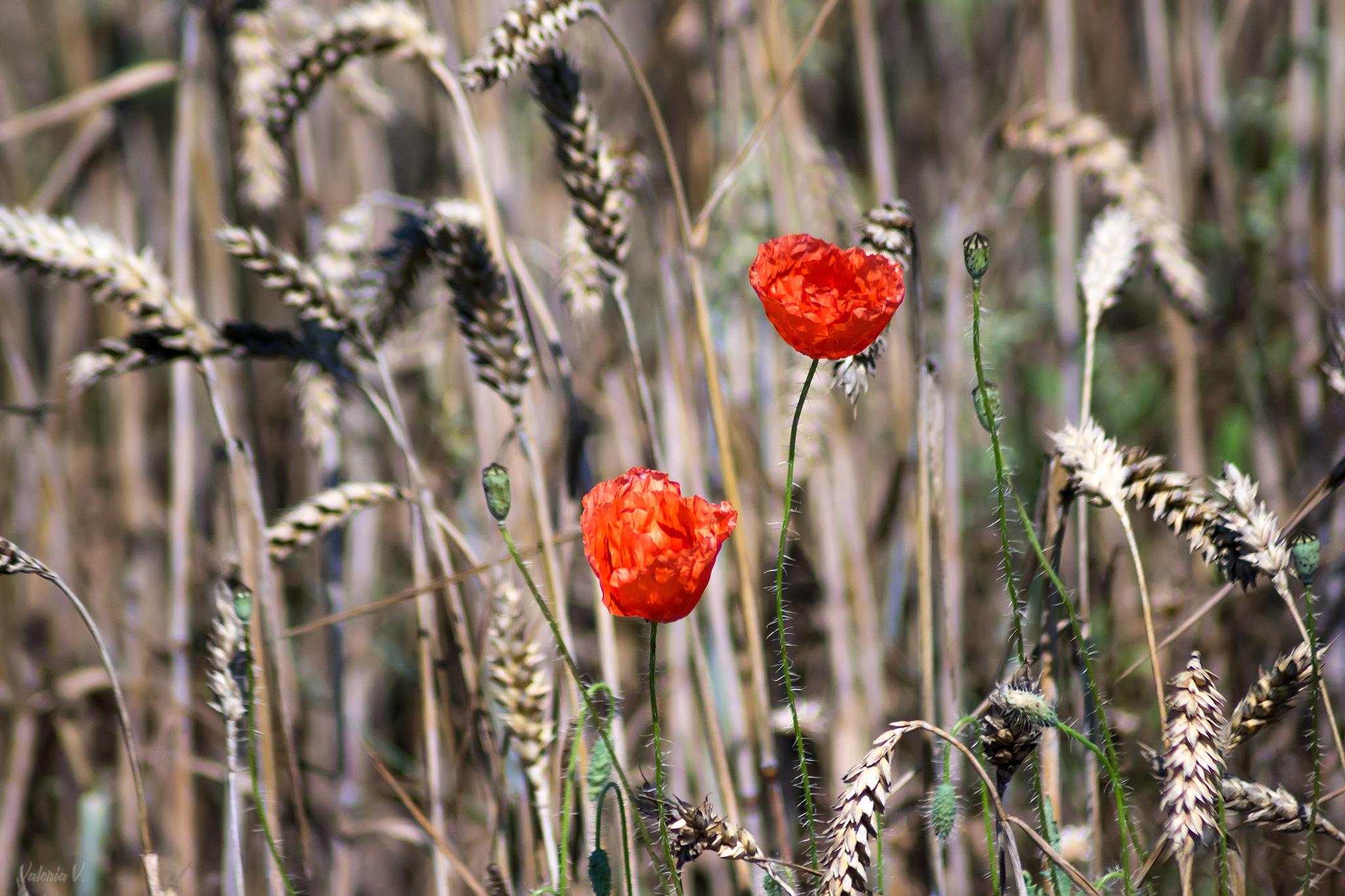 Poppy by Valeria