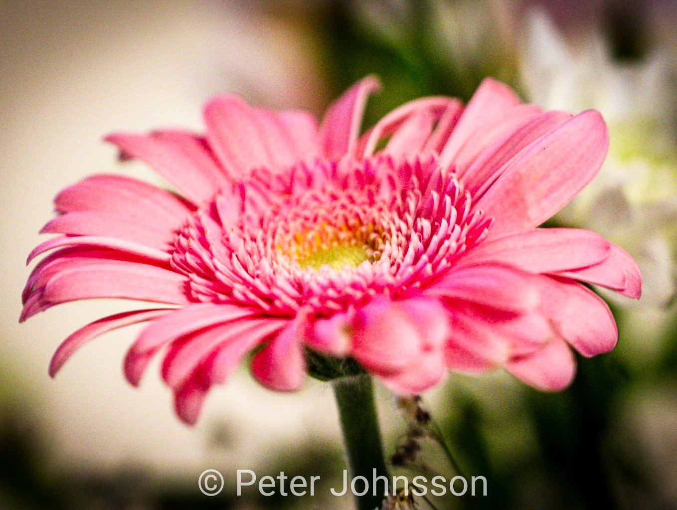 flower by Peter Johnsson
