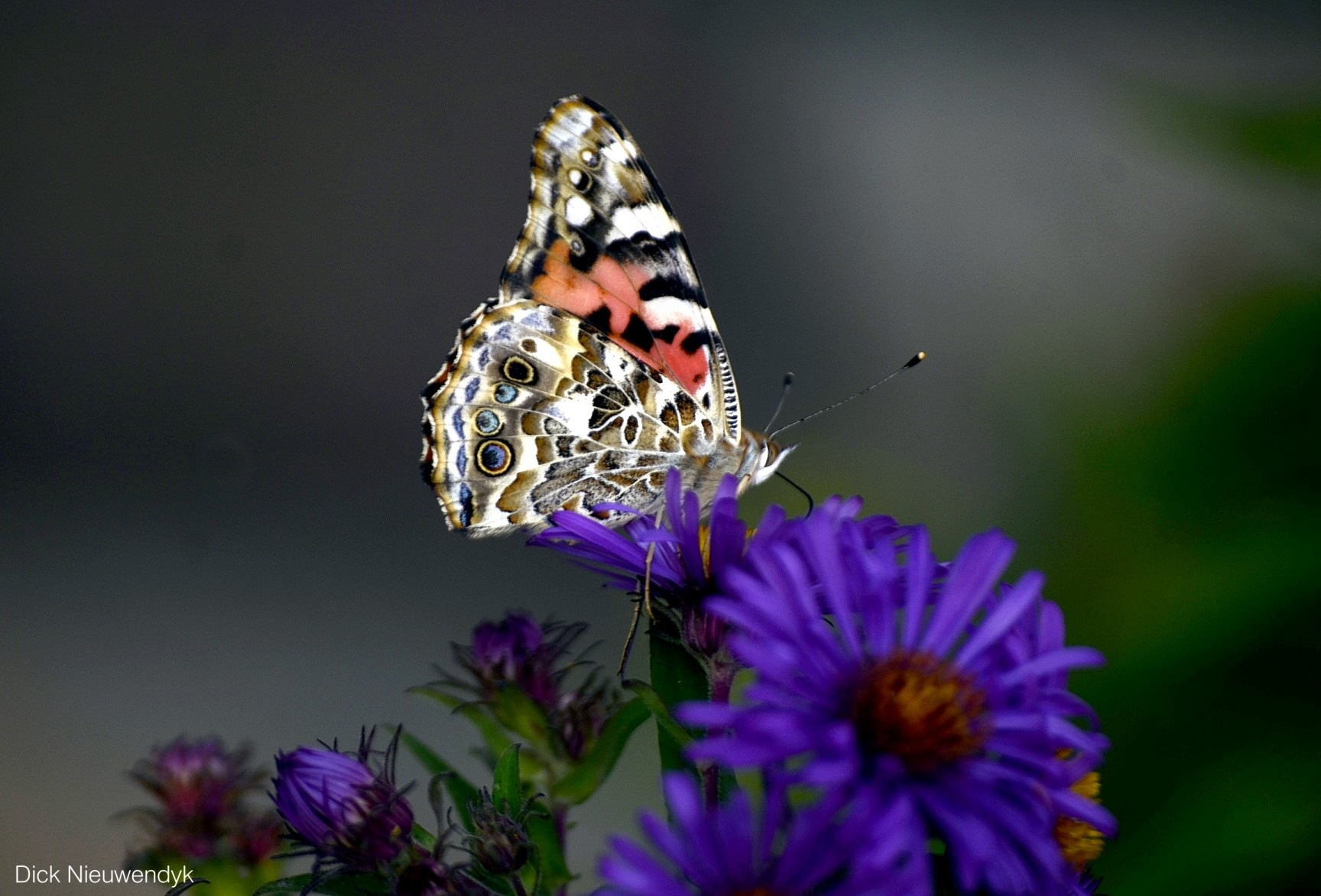 Painted Lady by studicom2000
