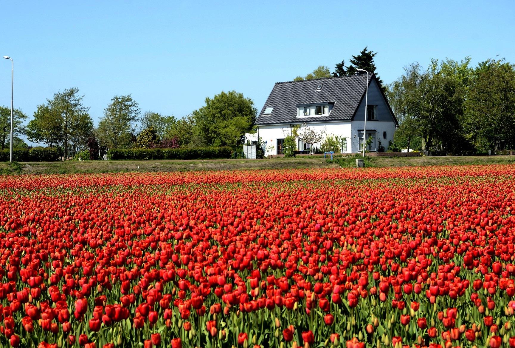 Tulip Fields by studicom2000