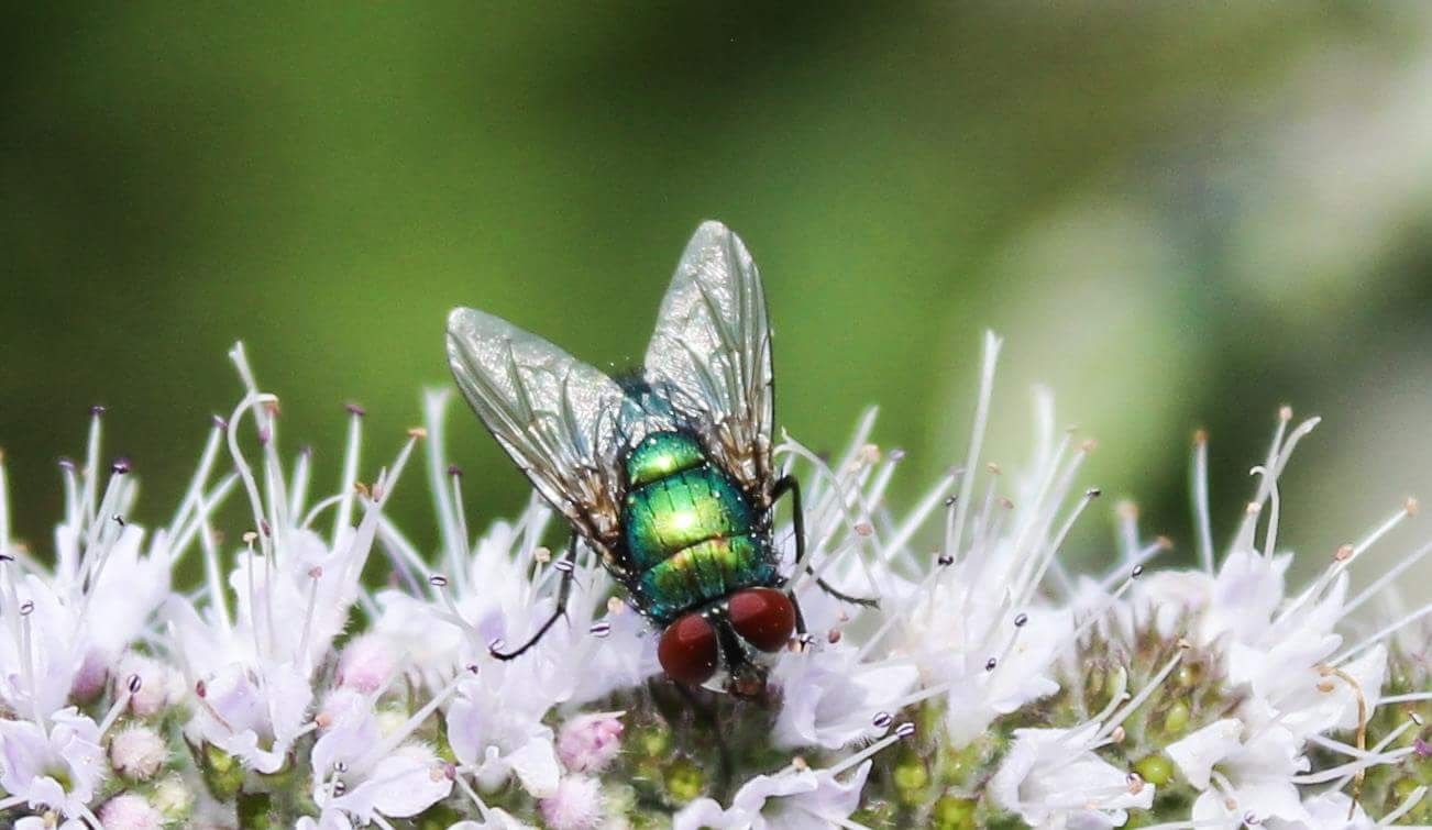 fly meets Peppermint  by Anika Kain