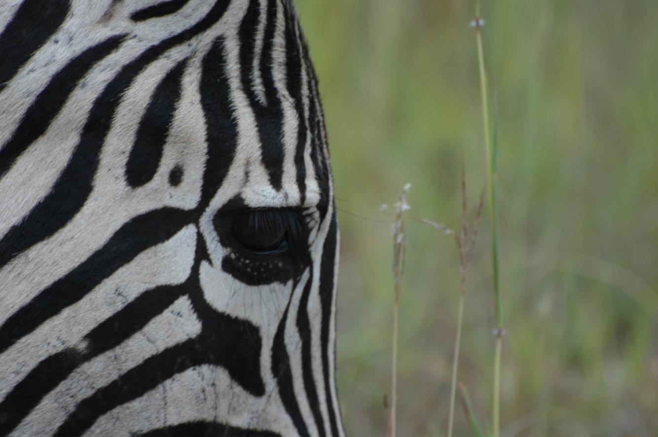 Portrait of a zebra  by Karen Stevenaert Piazzardi