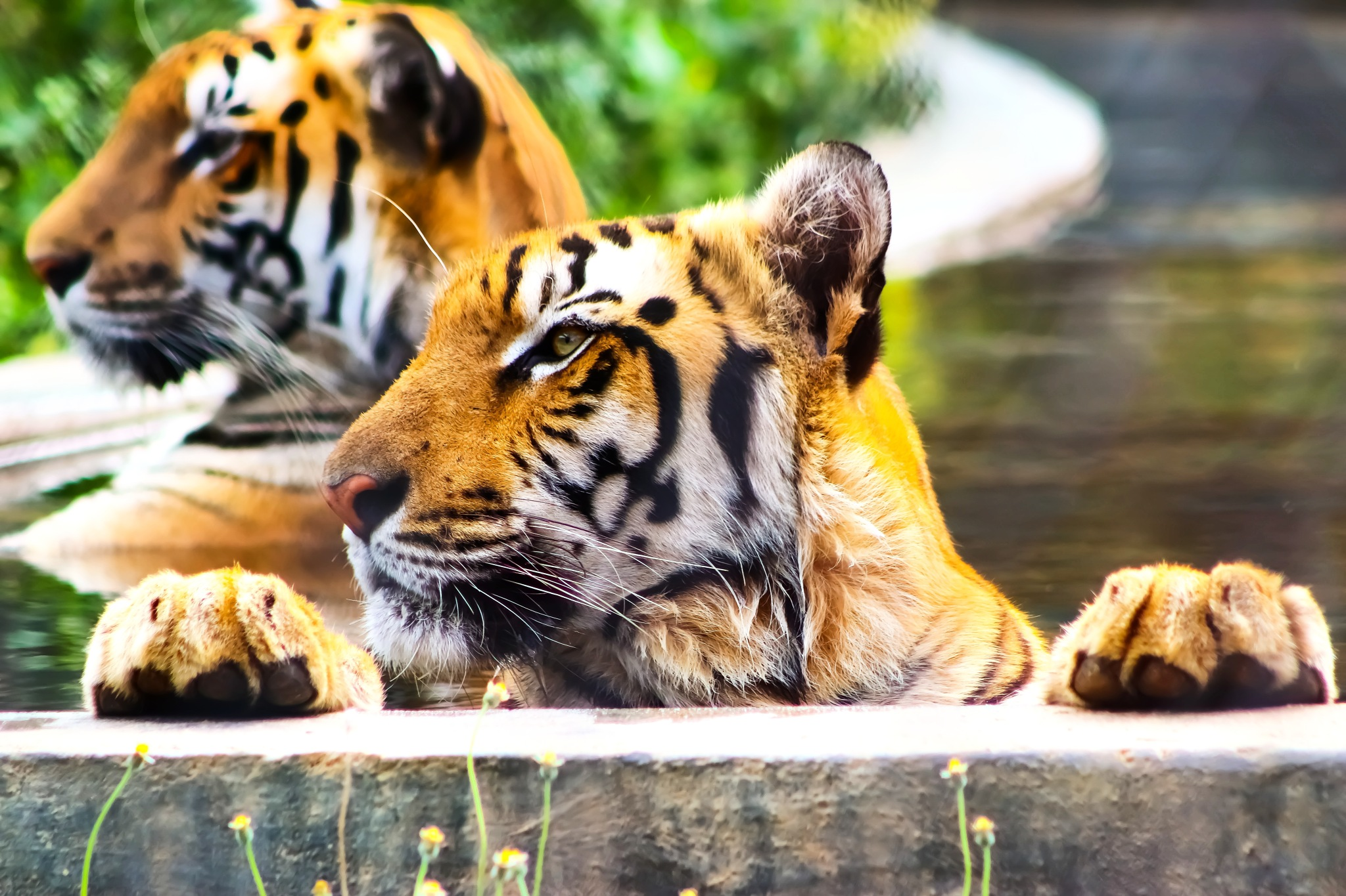 No Kingdom without the King - SAVE TIGERS by Remo G J