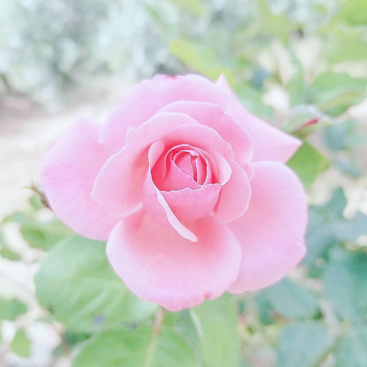 rose by Dita M GC