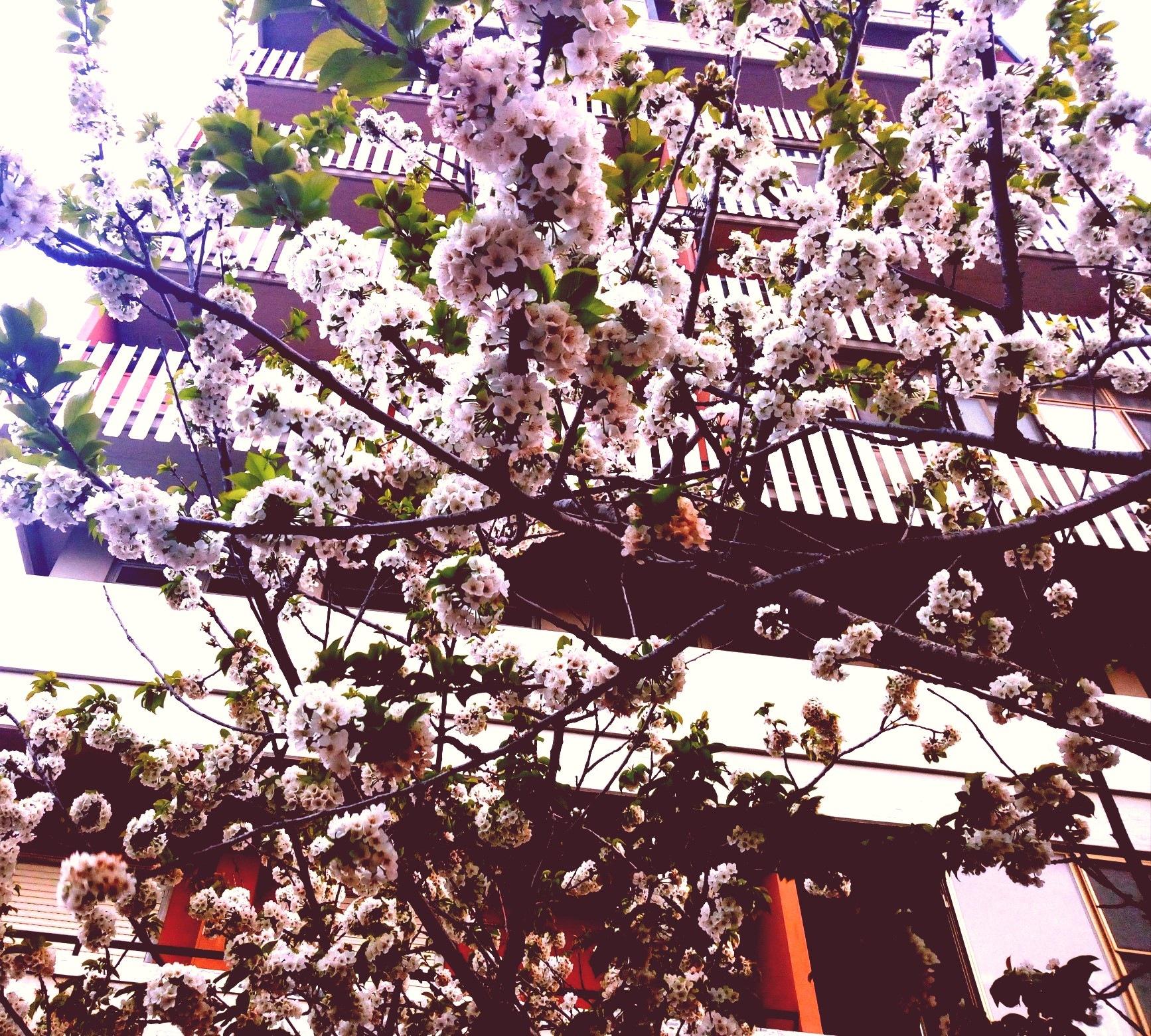Sakura by Olena Olly Berezyuk