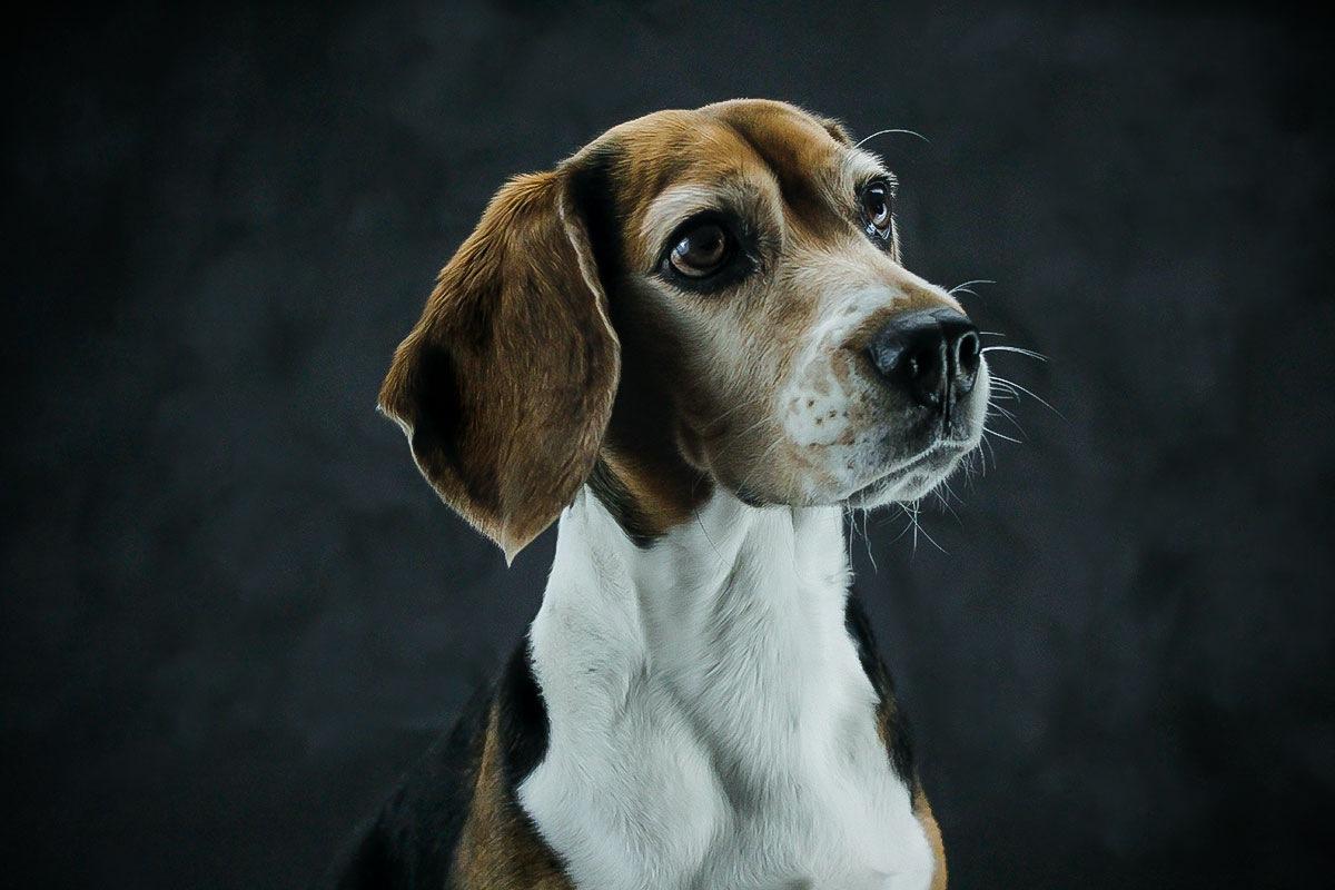 Sarah the beagle by Jei Vera