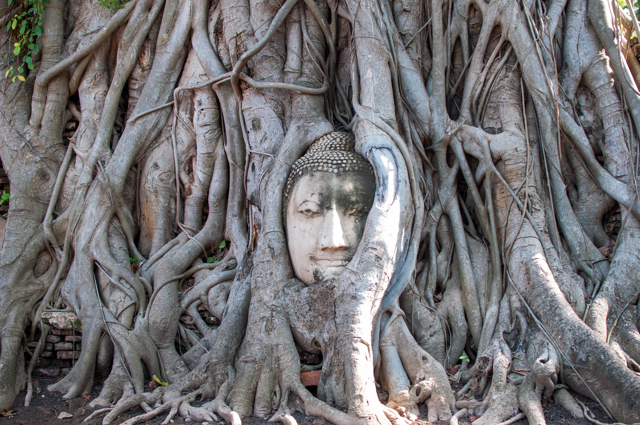 Buddha Head in Banyan Tree by Natalie Chew