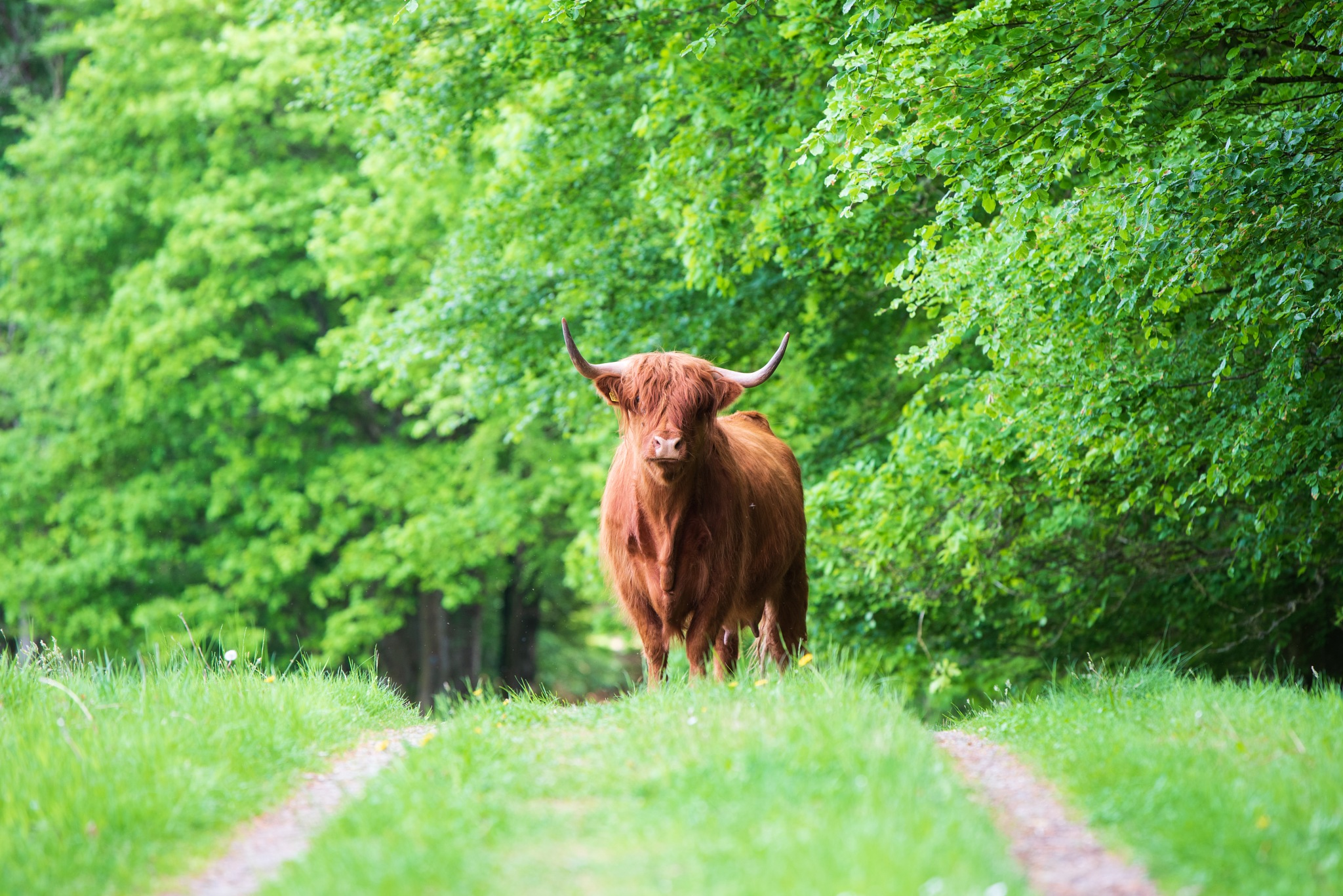 A Cow on the path. by Marquart_Photography