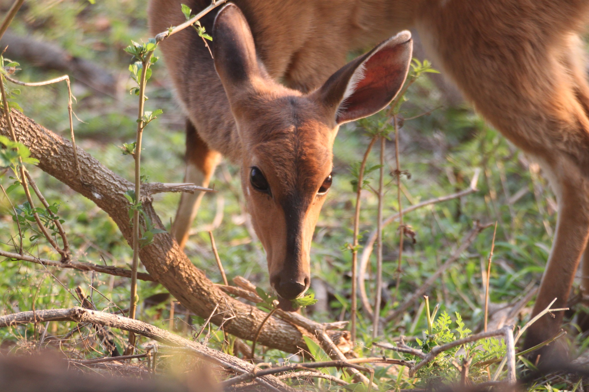 Wild Bushbuck by Carmel McKenna