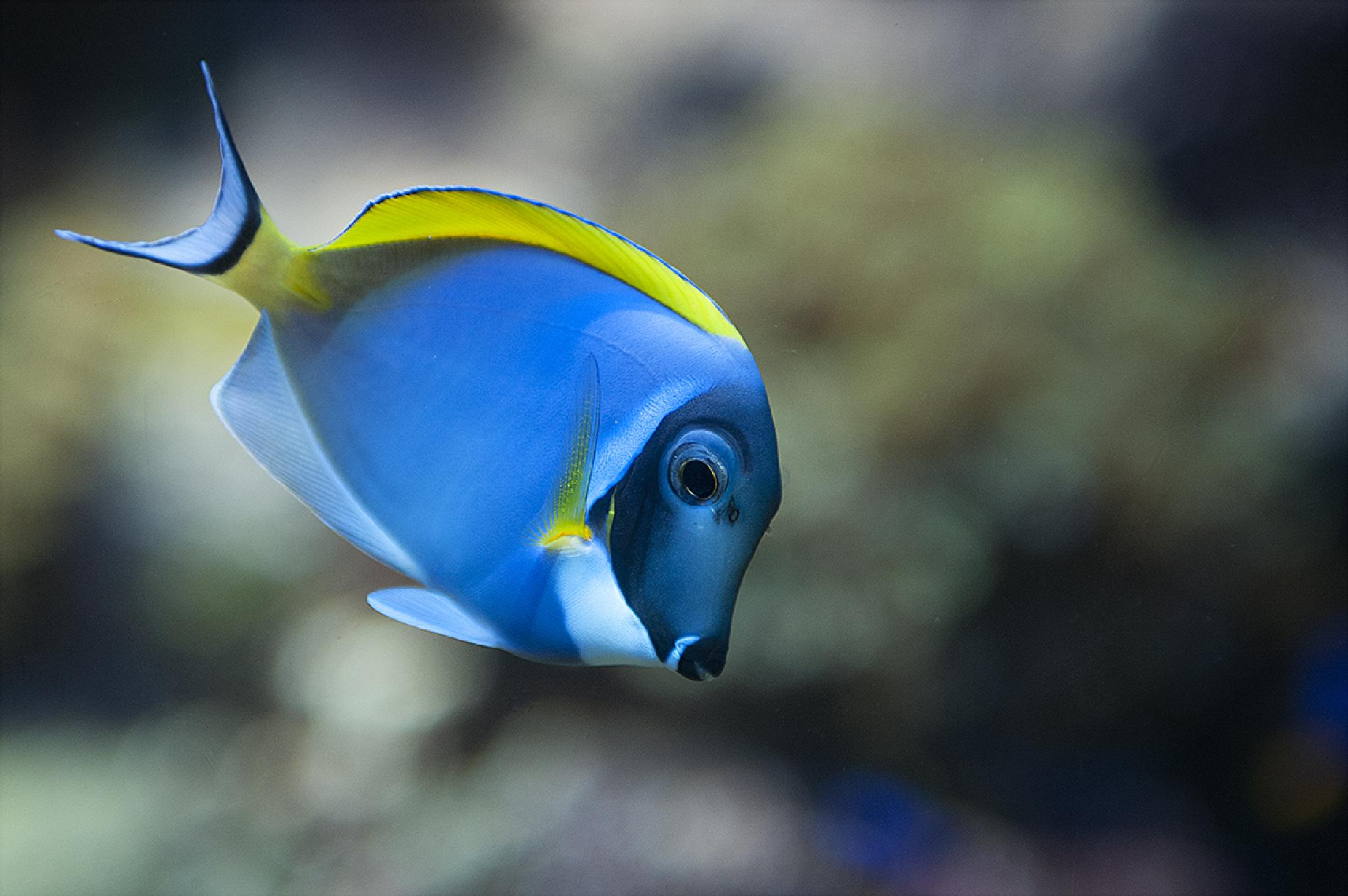 The lonely blue yellow fish  by stephanie_degen_photography
