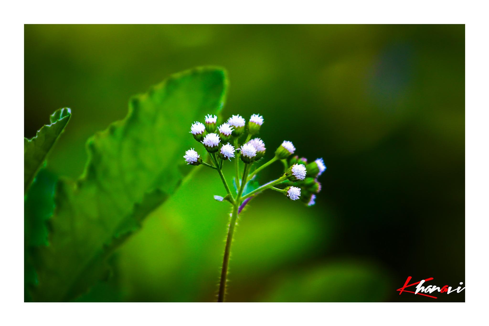 Nature flowers by Khan Avi