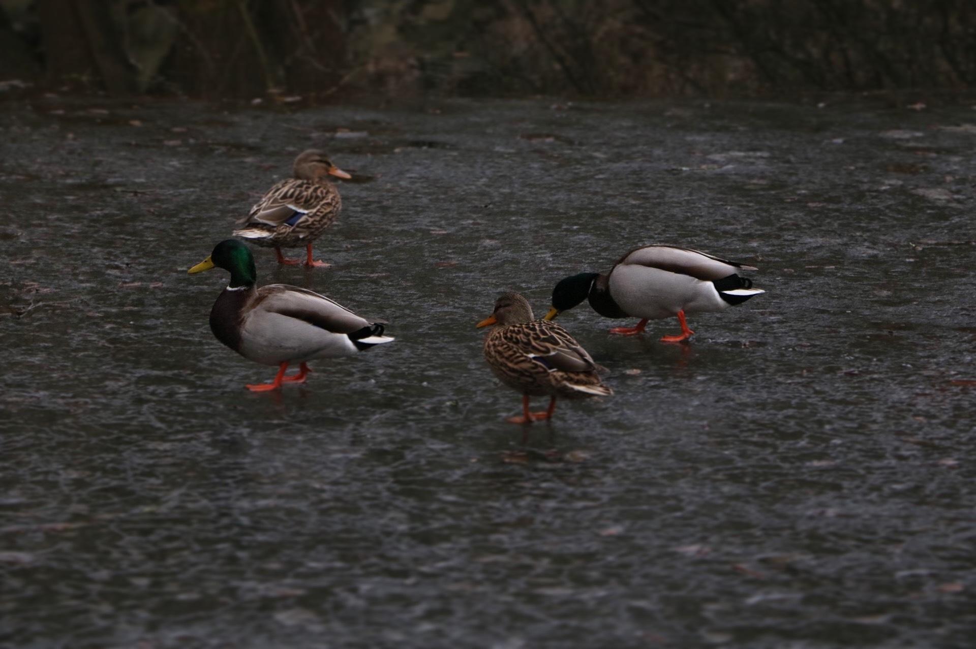 Ducks  by Milian ritz